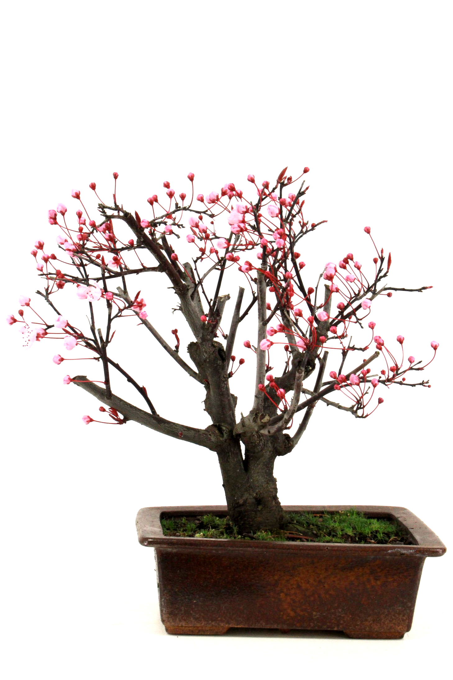 Diverse bonsai bersicht onlineshop oyaki bonsai for Bonsai onlineshop