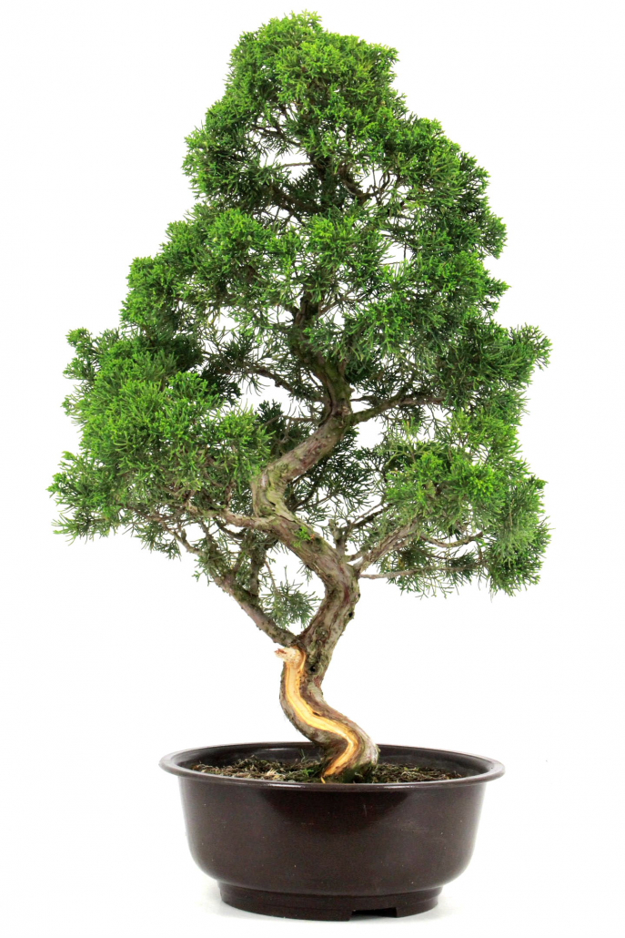 bonsai wacholder juniperus chinensis 82 cm bei oyaki. Black Bedroom Furniture Sets. Home Design Ideas