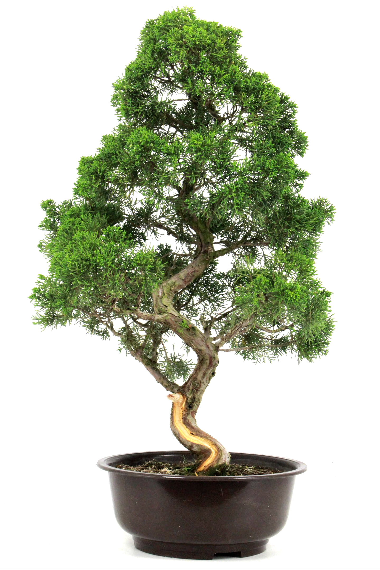 Bonsai wacholder juniperus chinensis 82 cm bei oyaki for Bonsai onlineshop