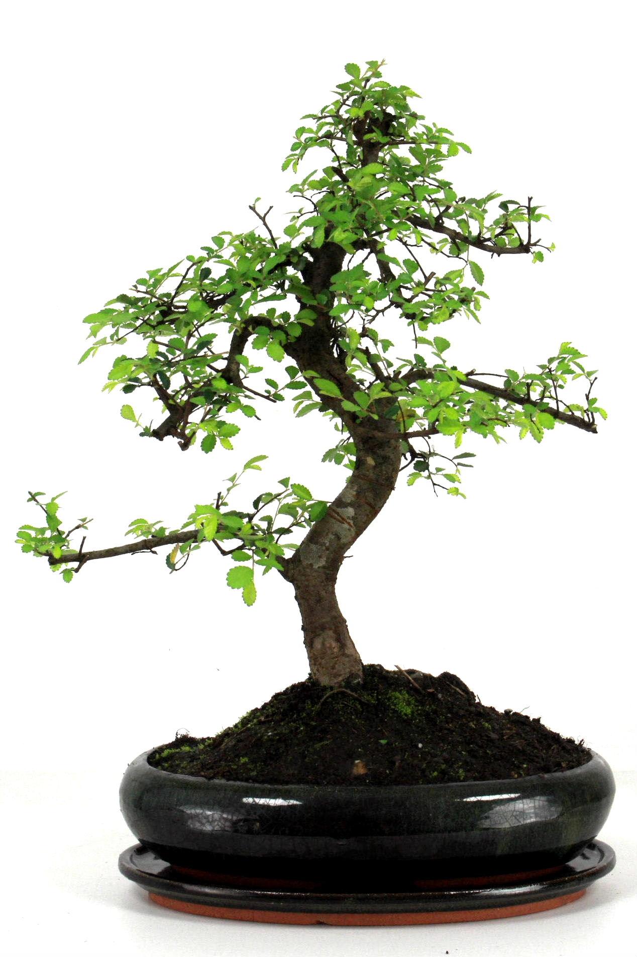 chinesische ulme bonsai 40 cm 252 bei oyaki bonsai kaufen. Black Bedroom Furniture Sets. Home Design Ideas