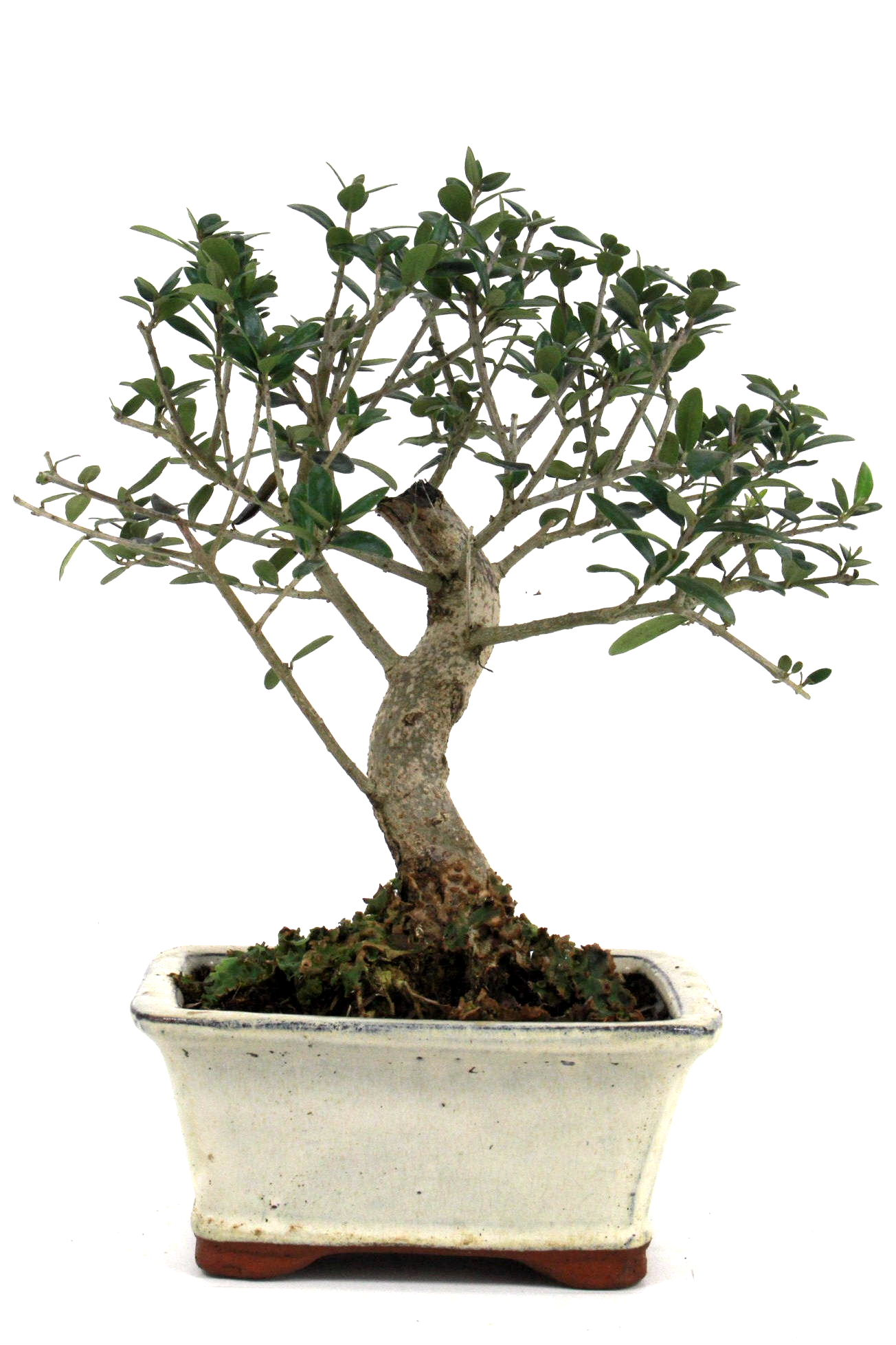 Wild olive bonsai aus spanien 30 cm 1616 bei oyaki bonsai for Bonsai onlineshop