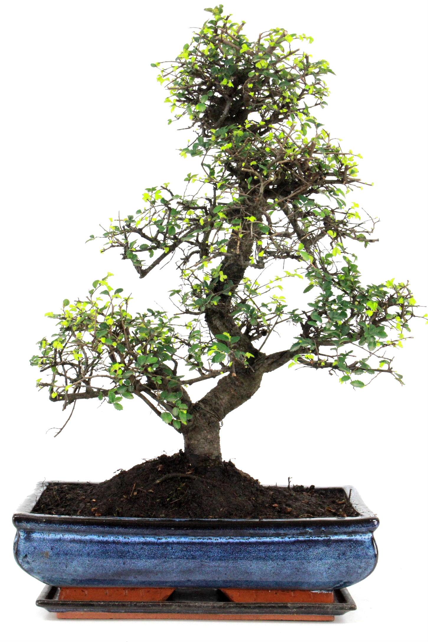 bonsai chinesische ulme 55 cm 344 bei oyaki bonsai kaufen. Black Bedroom Furniture Sets. Home Design Ideas