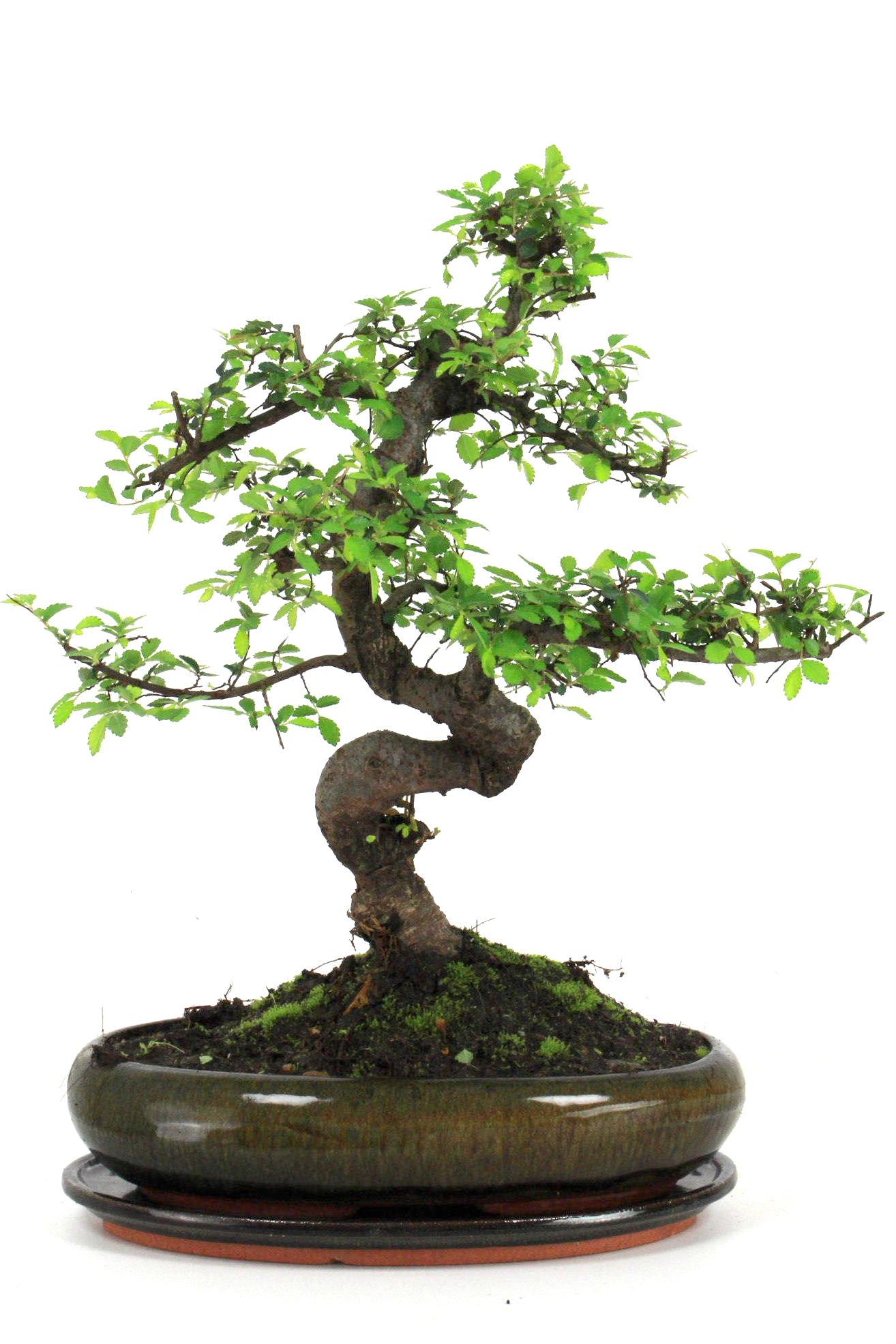 bonsai chinesische ulme 30 35 cm g1613 bei oyaki bonsai kaufen. Black Bedroom Furniture Sets. Home Design Ideas