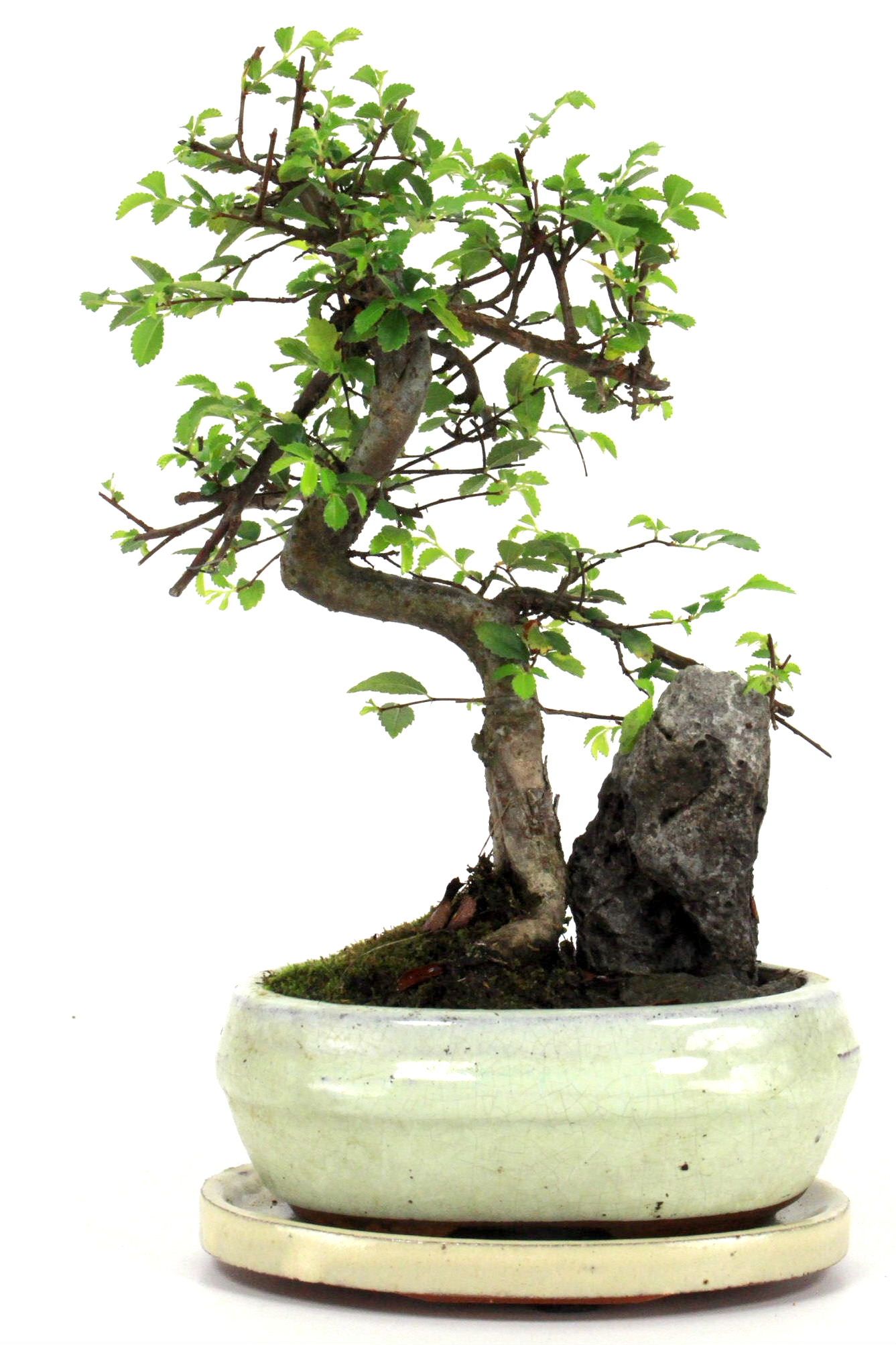 Bonsai chinesische ulme am felsen 30 35 cm 161 bei oyaki for Bonsai onlineshop
