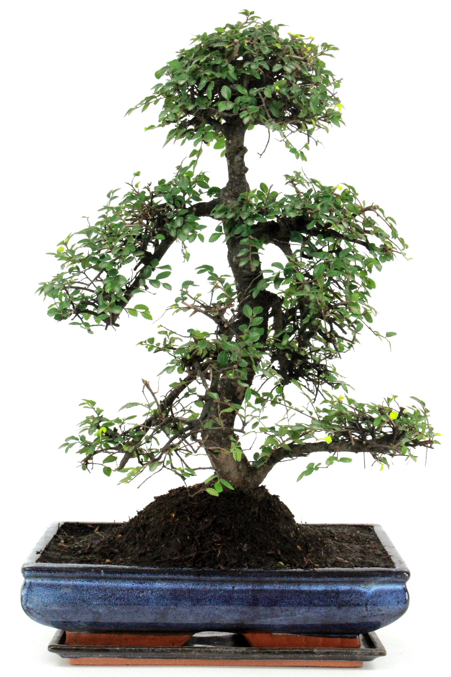 bonsai chinesische ulme 55 cm 346 bei oyaki bonsai kaufen. Black Bedroom Furniture Sets. Home Design Ideas