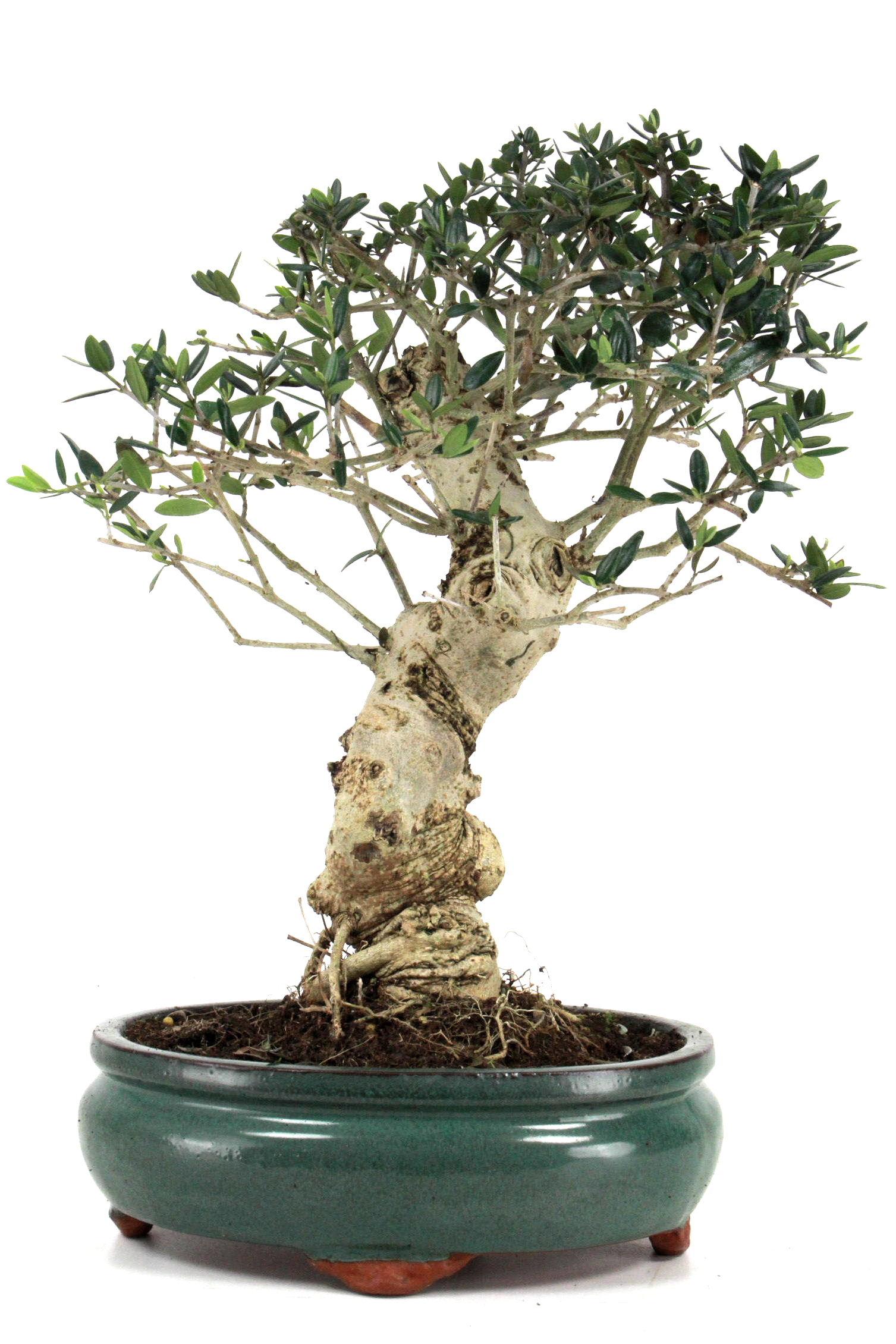 Olive bersicht onlineshop oyaki bonsai for Bonsai versand