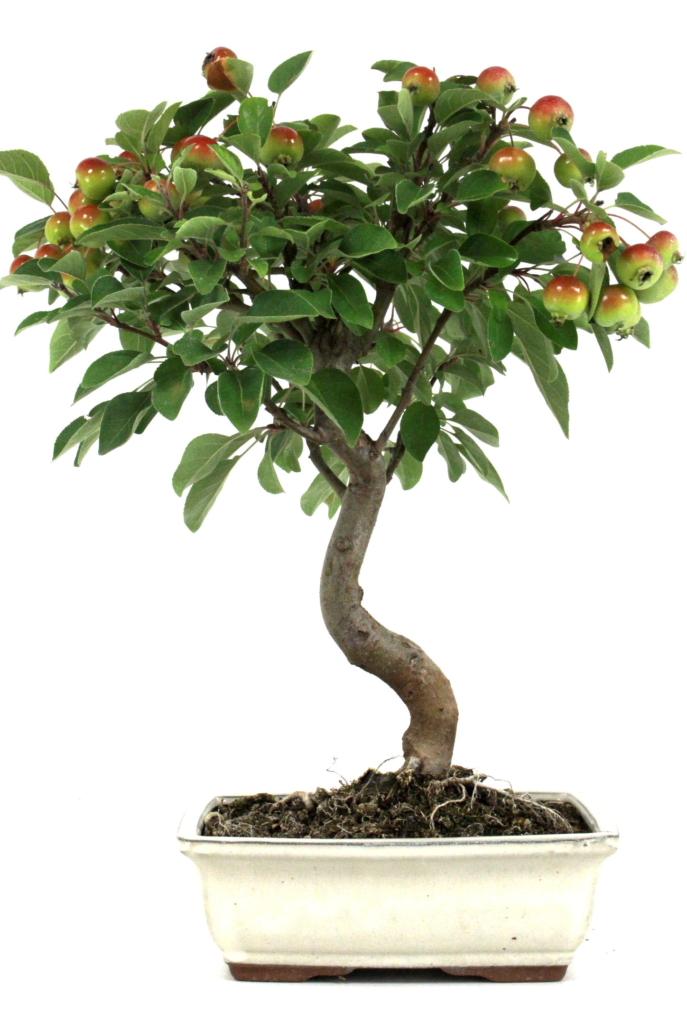 bonsai apfel malus halliana 40 45 cm 193 bei oyaki bonsai. Black Bedroom Furniture Sets. Home Design Ideas