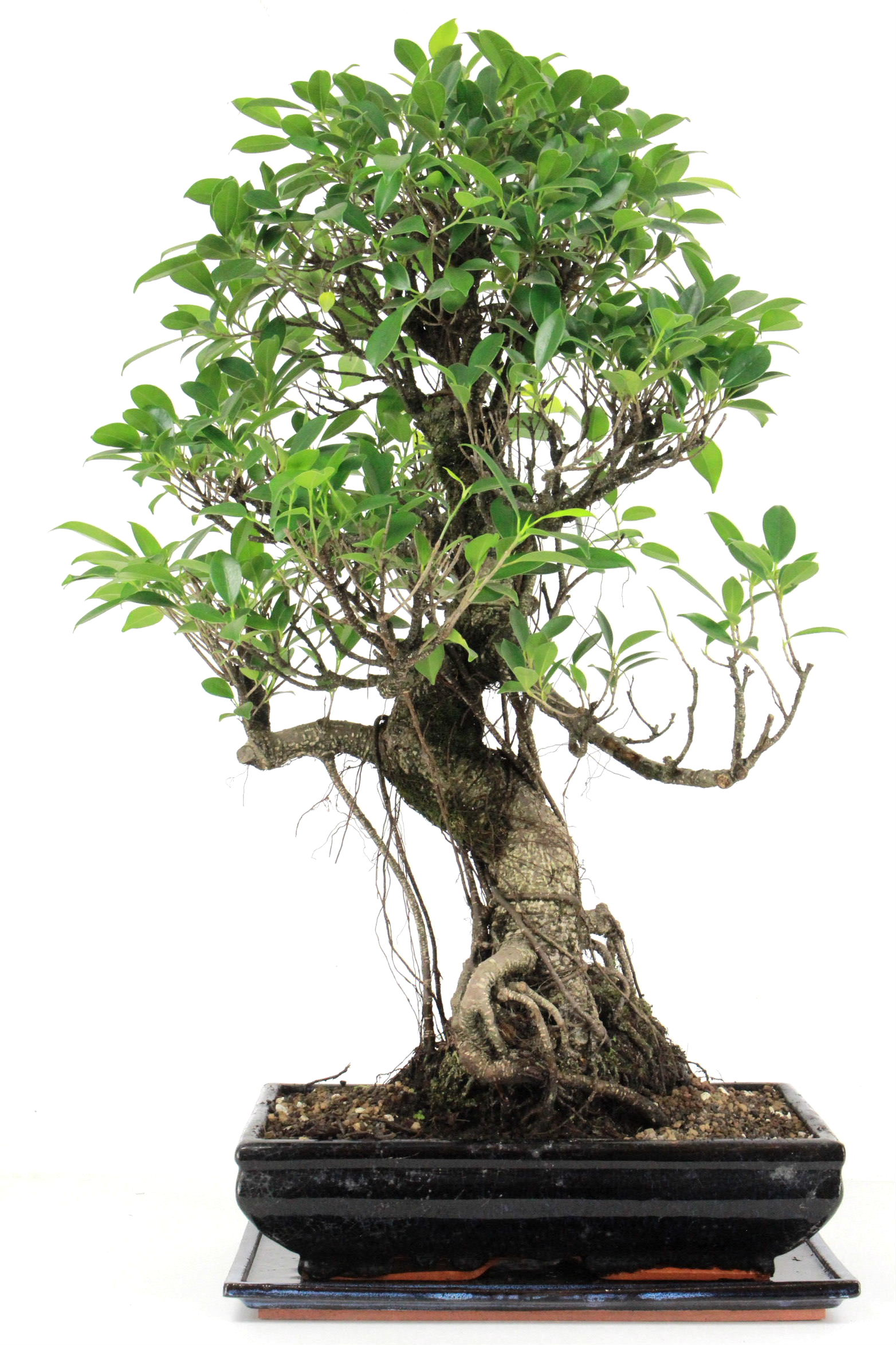 Ficus retusa 70 cm 341 bei oyaki bonsai kaufen for Bonsai onlineshop