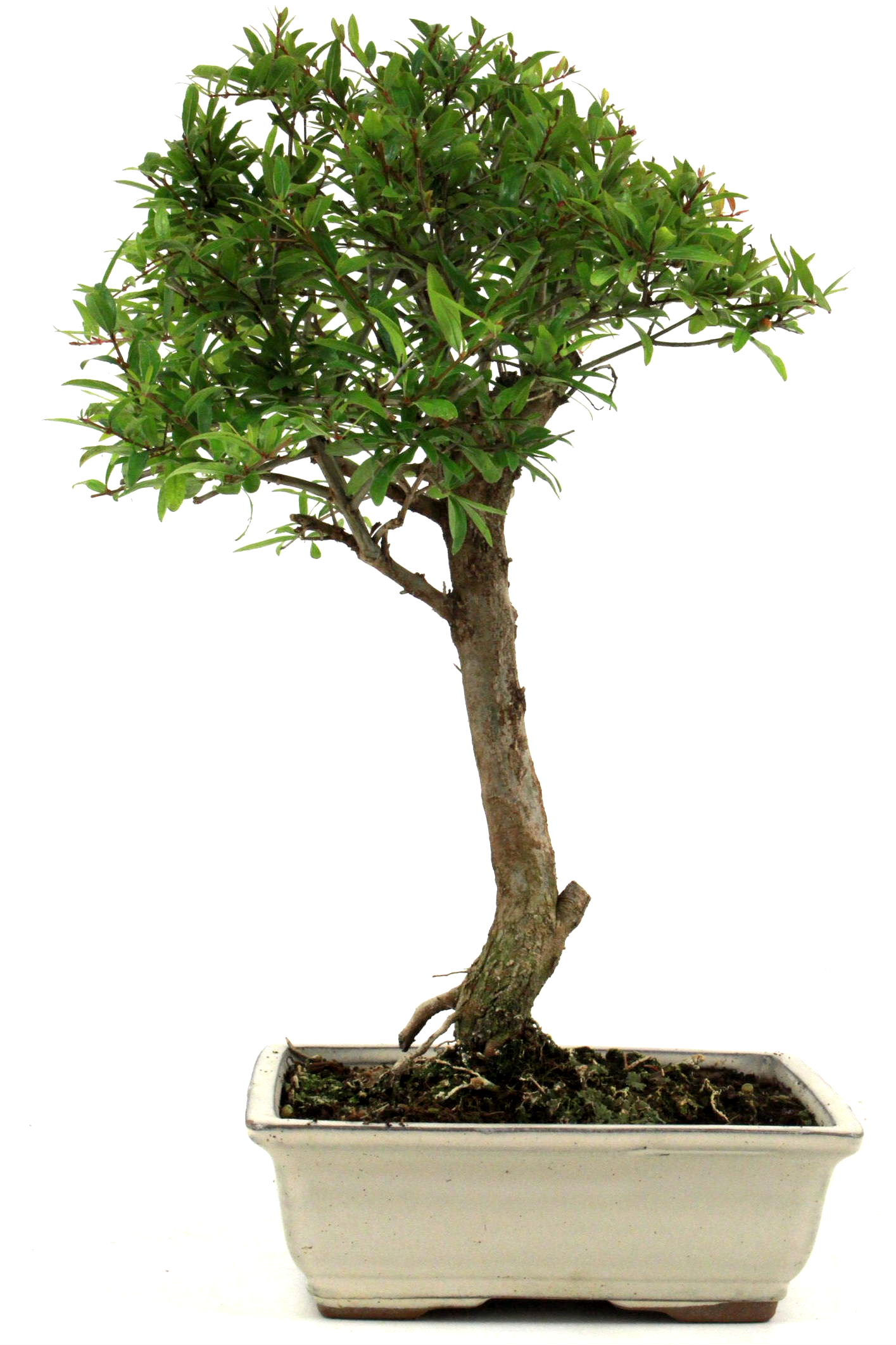 Bonsai granatapfel 35 40 cm 1915 bei oyaki bonsai kaufen for Bonsai onlineshop