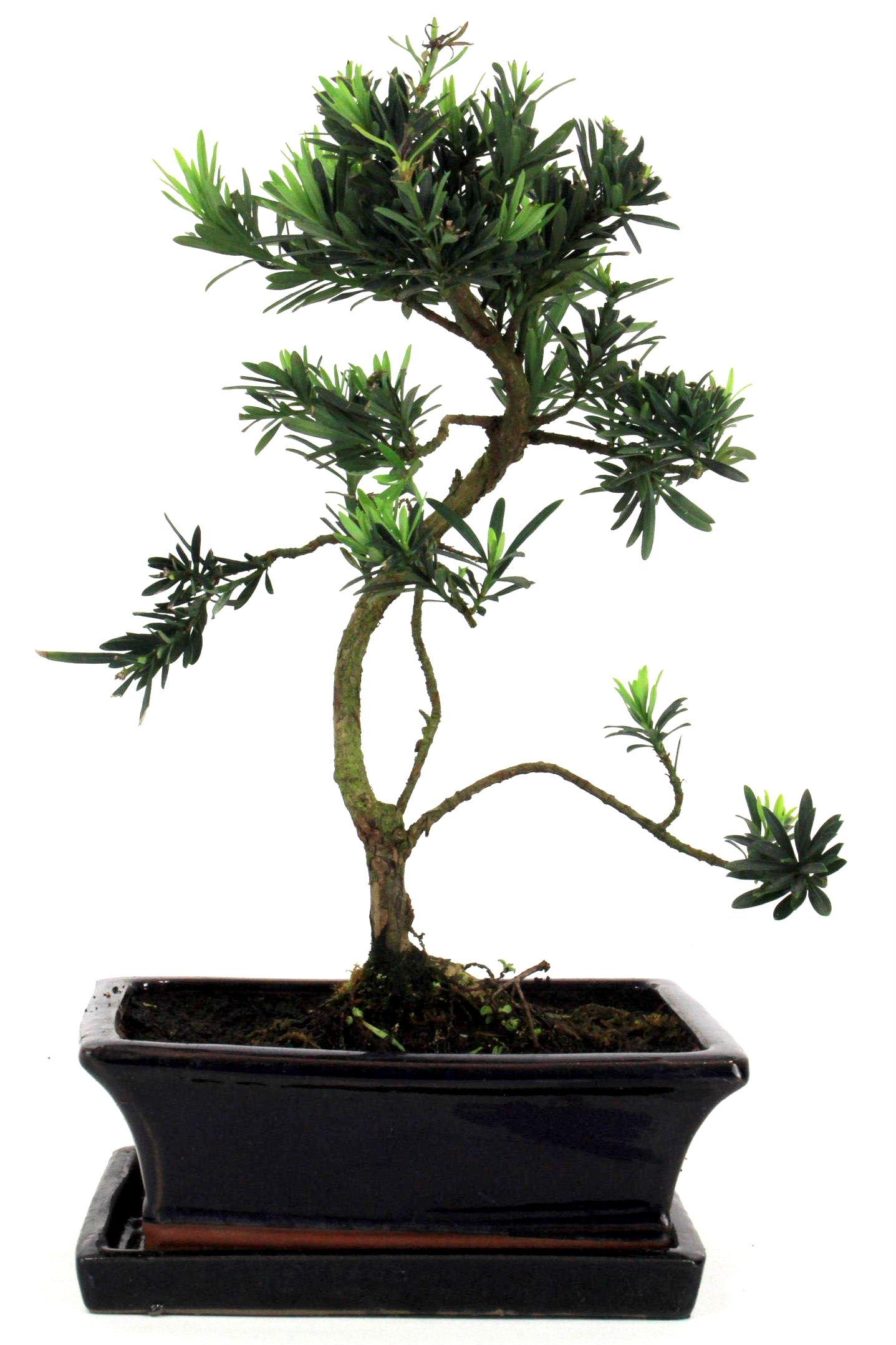 steineibe bonsai 35 40 cm 192 bei oyaki bonsai kaufen. Black Bedroom Furniture Sets. Home Design Ideas