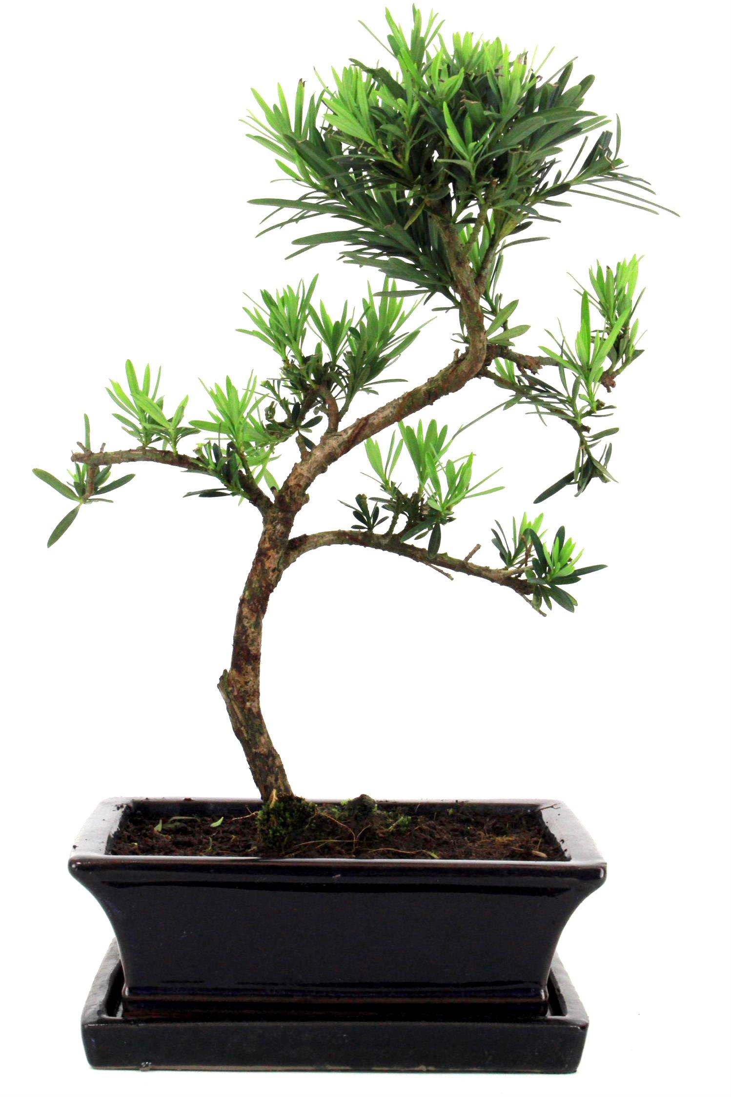 steineibe bonsai 35 40 cm 195 bei oyaki bonsai kaufen. Black Bedroom Furniture Sets. Home Design Ideas