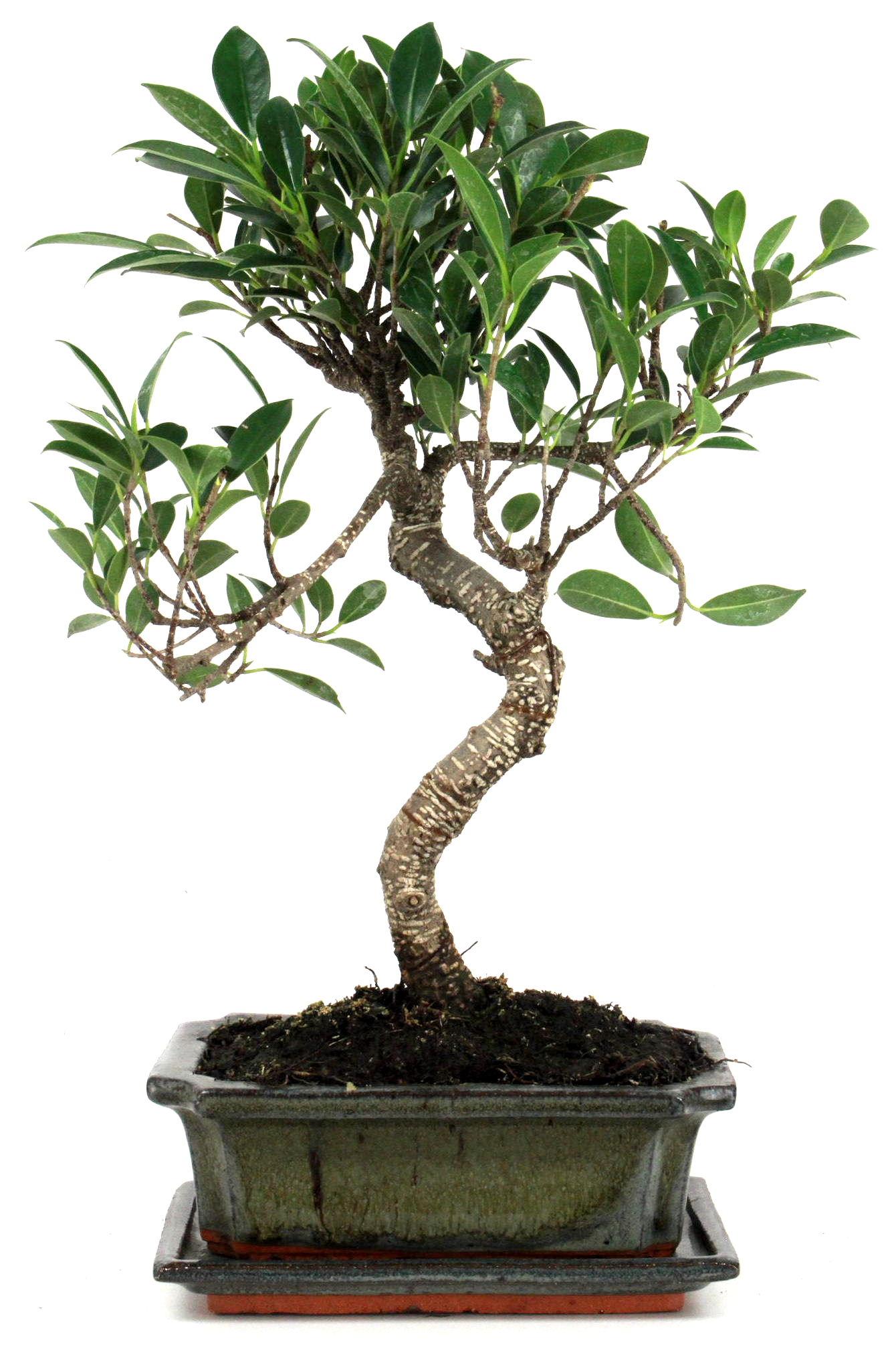 chinesische feige ficus bonsai 35 40 cm 1913 bei oyaki. Black Bedroom Furniture Sets. Home Design Ideas