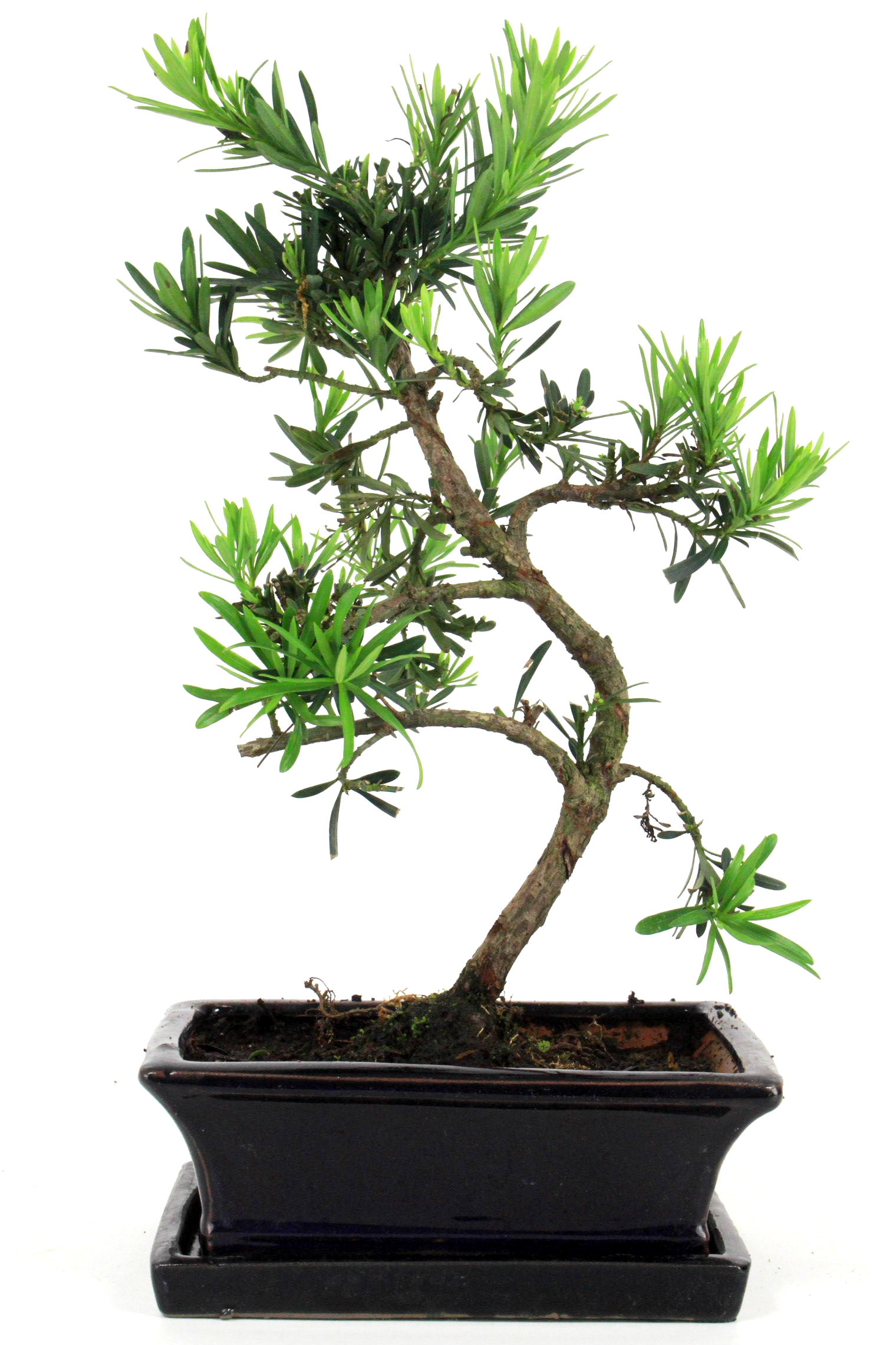 steineibe bonsai 35 40 cm 1912 bei oyaki bonsai kaufen. Black Bedroom Furniture Sets. Home Design Ideas