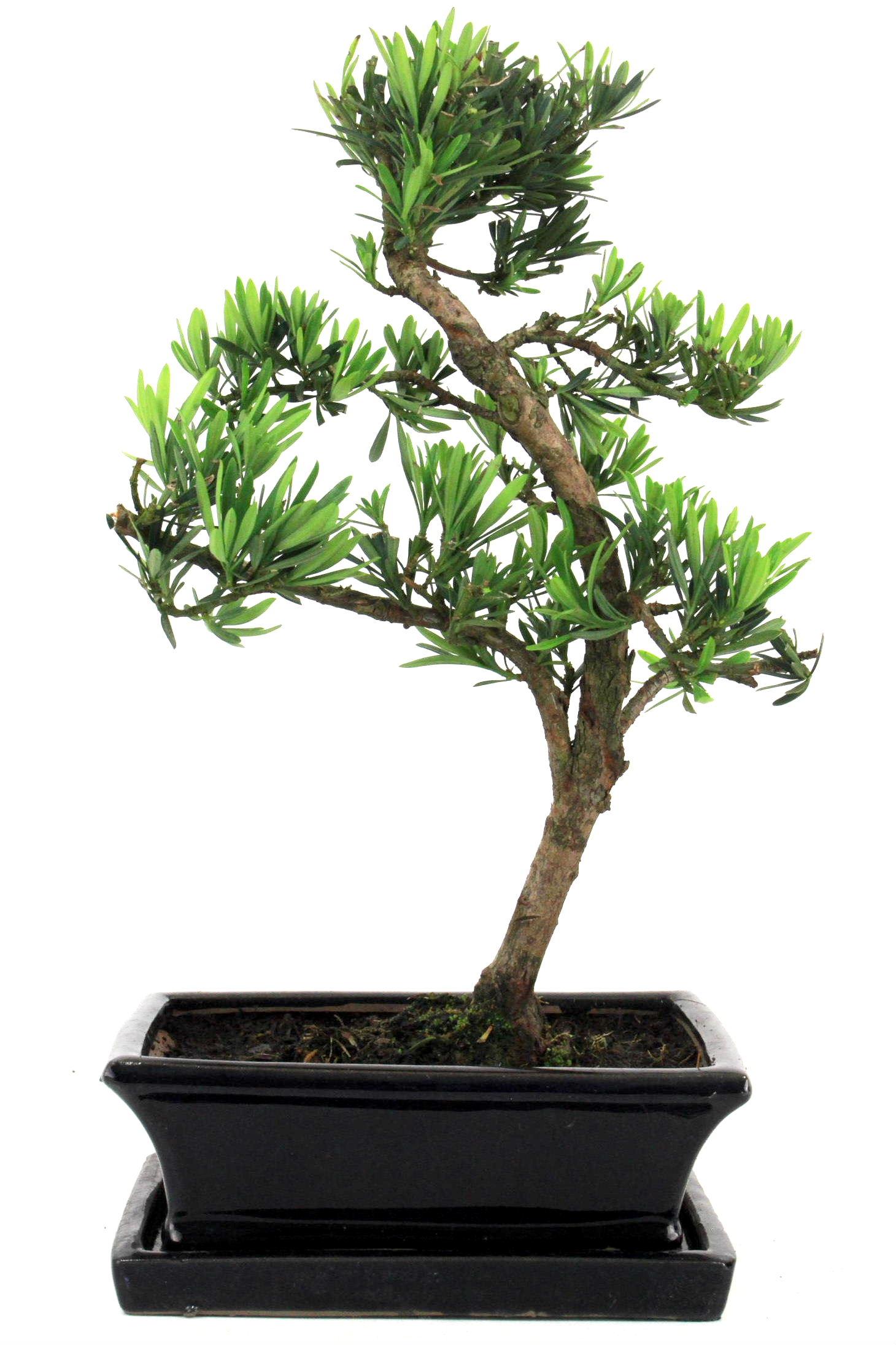 Steineibe bonsai 35 40 cm 1914 bei oyaki bonsai kaufen for Bonsai onlineshop