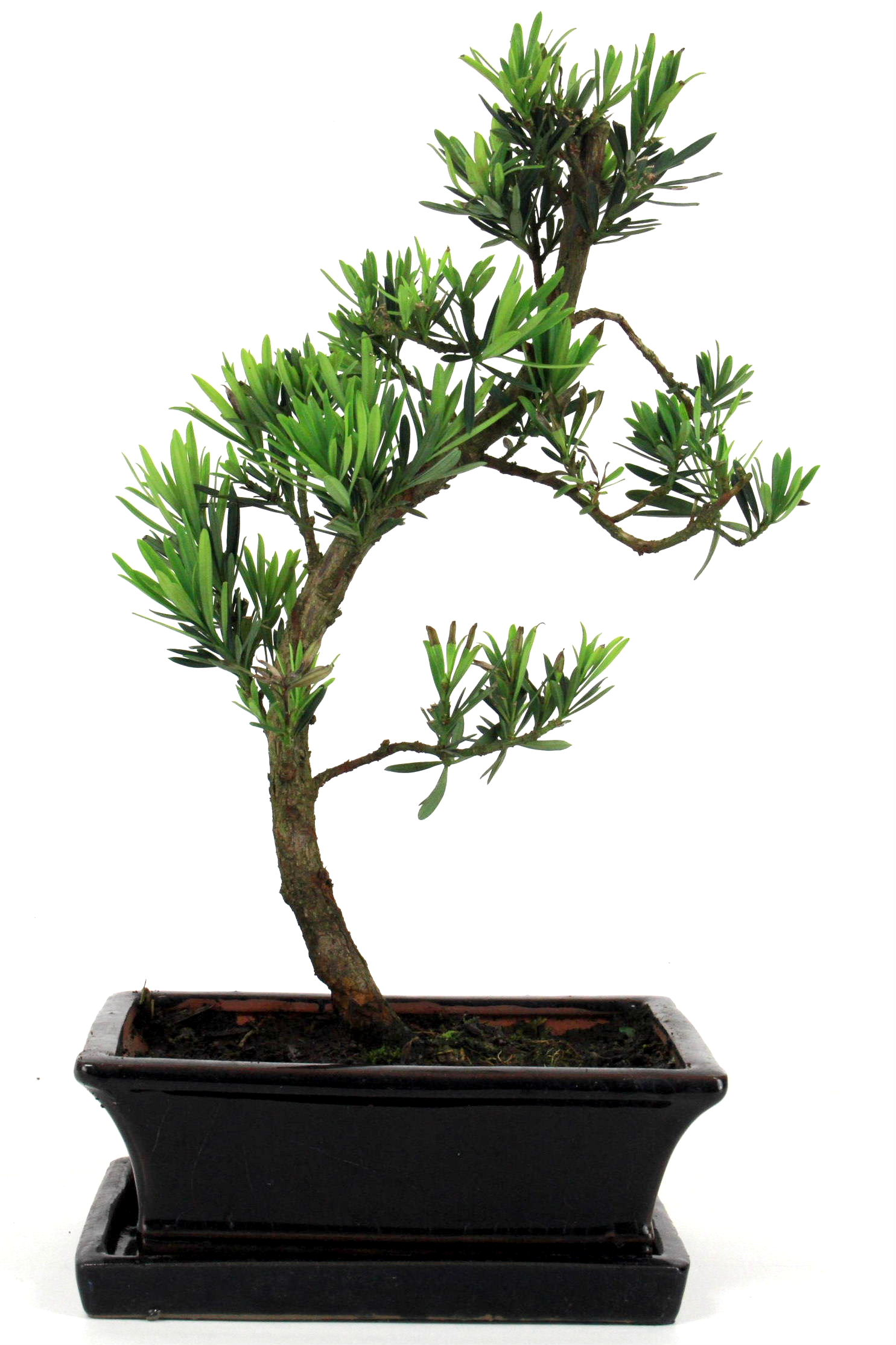 Steineibe bonsai 35 40 cm 1916 bei oyaki bonsai kaufen for Bonsai onlineshop