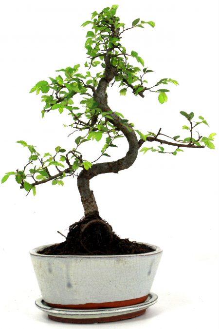chinesische ulme bonsai 35 cm 175 bei oyaki bonsai kaufen. Black Bedroom Furniture Sets. Home Design Ideas