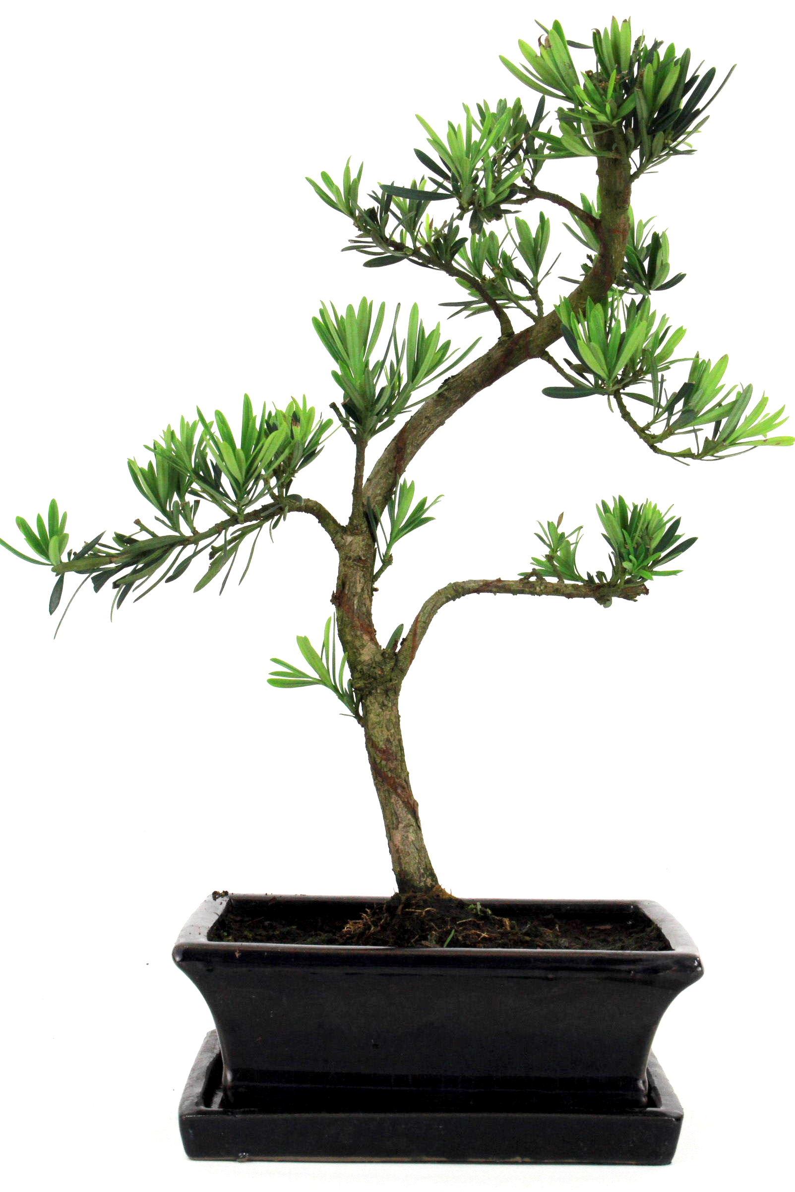 steineibe bonsai 35 40 cm 1917 bei oyaki bonsai kaufen. Black Bedroom Furniture Sets. Home Design Ideas