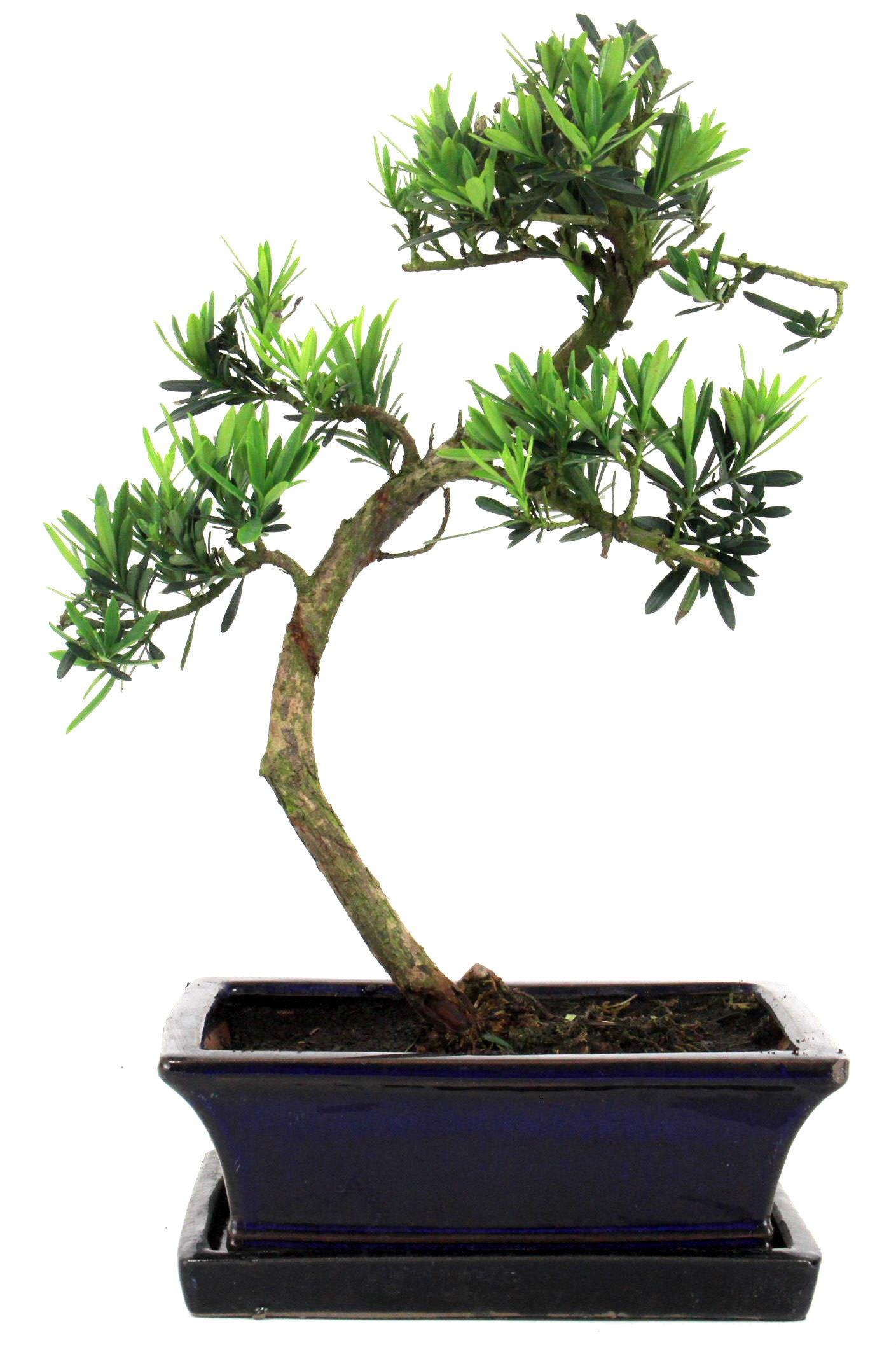 steineibe bonsai 35 40 cm 1920 bei oyaki bonsai kaufen. Black Bedroom Furniture Sets. Home Design Ideas