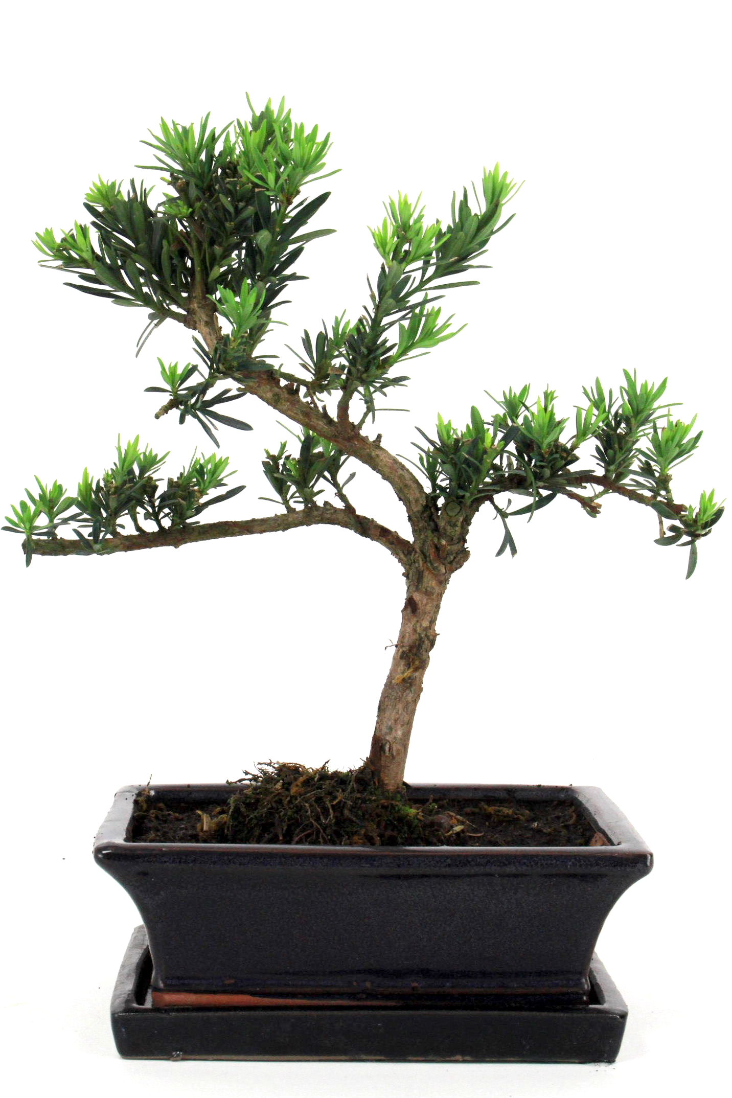 Steineibe bonsai 35 40 cm 1922 bei oyaki bonsai kaufen for Bonsai onlineshop