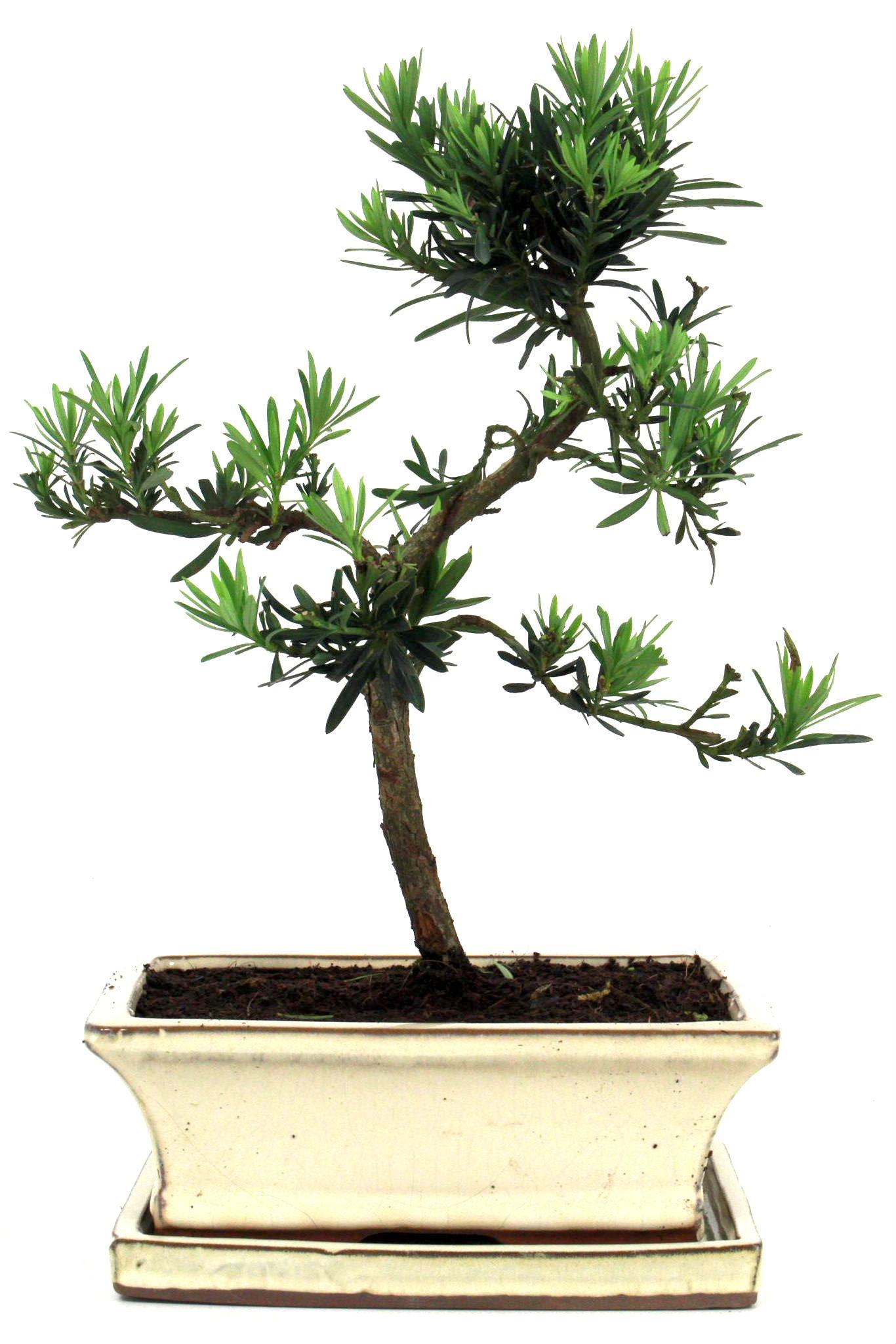 steineibe bonsai 35 40 cm 1926 bei oyaki bonsai kaufen. Black Bedroom Furniture Sets. Home Design Ideas