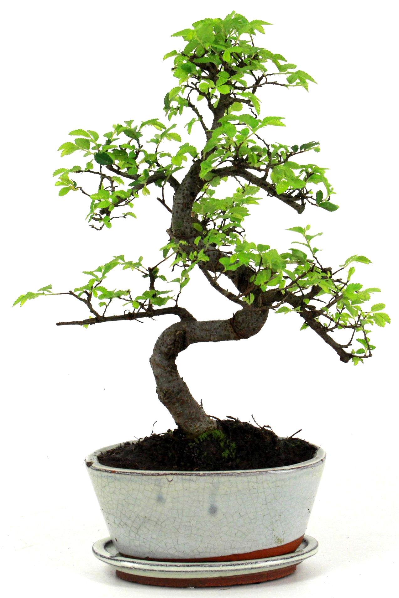 Chinesische ulme bonsai 35 cm 1715 bei oyaki bonsai kaufen for Bonsai onlineshop