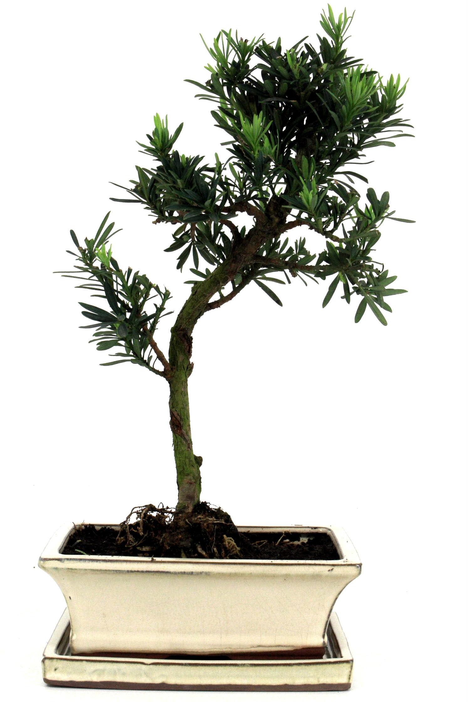 Steineibe bonsai 35 40 cm 194 bei oyaki bonsai kaufen for Bonsai onlineshop