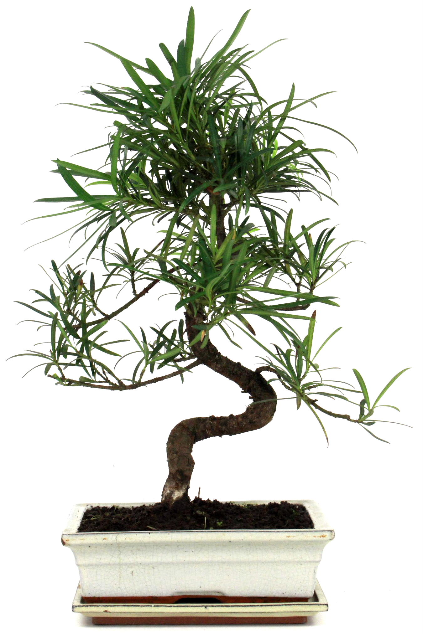 steineibe bonsai 45 50 cm w242 bei oyaki bonsai kaufen. Black Bedroom Furniture Sets. Home Design Ideas