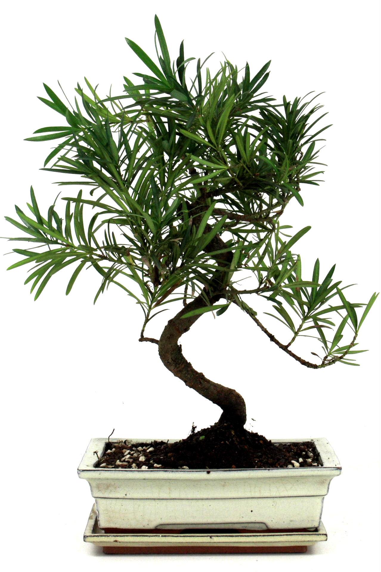 steineibe bonsai 45 50 cm w243 bei oyaki bonsai kaufen. Black Bedroom Furniture Sets. Home Design Ideas