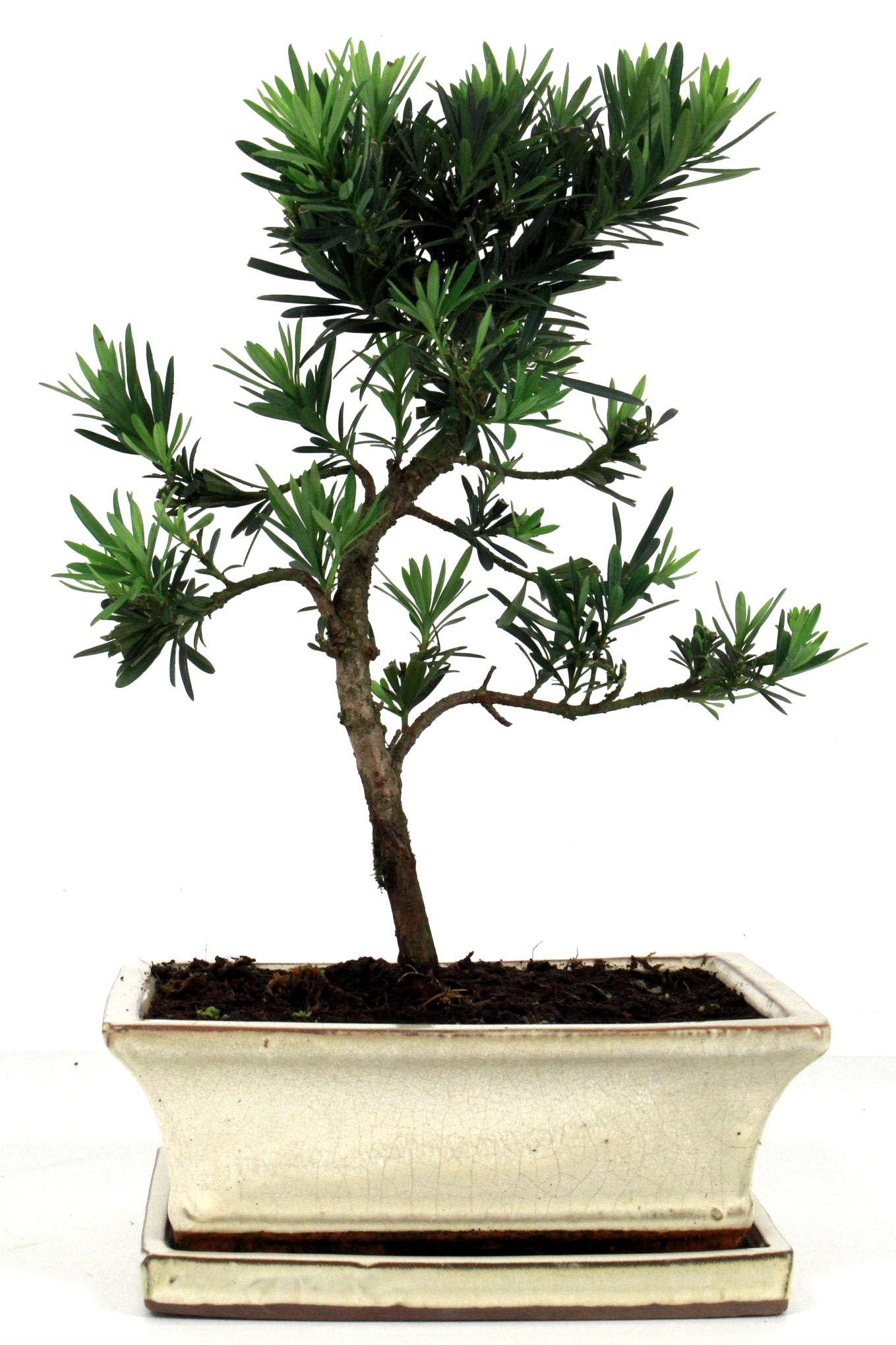 steineibe bonsai 35 40 cm 1930 bei oyaki bonsai kaufen. Black Bedroom Furniture Sets. Home Design Ideas