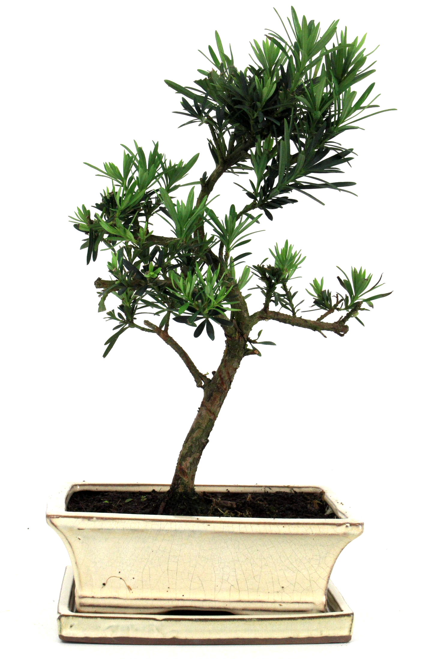 steineibe bonsai 35 40 cm 1932 bei oyaki bonsai kaufen. Black Bedroom Furniture Sets. Home Design Ideas