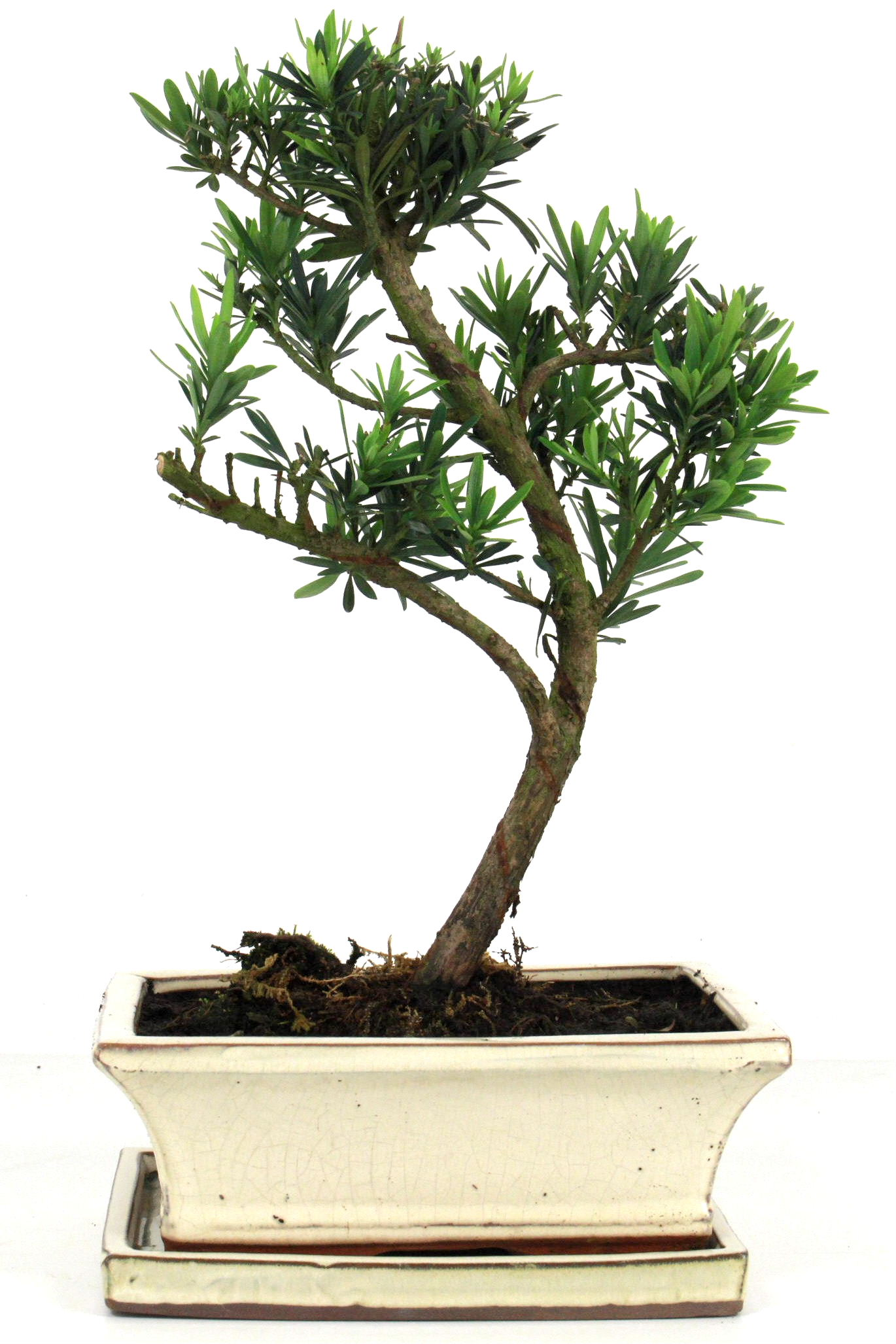 Steineibe bonsai 35 40 cm 1934 bei oyaki bonsai kaufen for Bonsai onlineshop