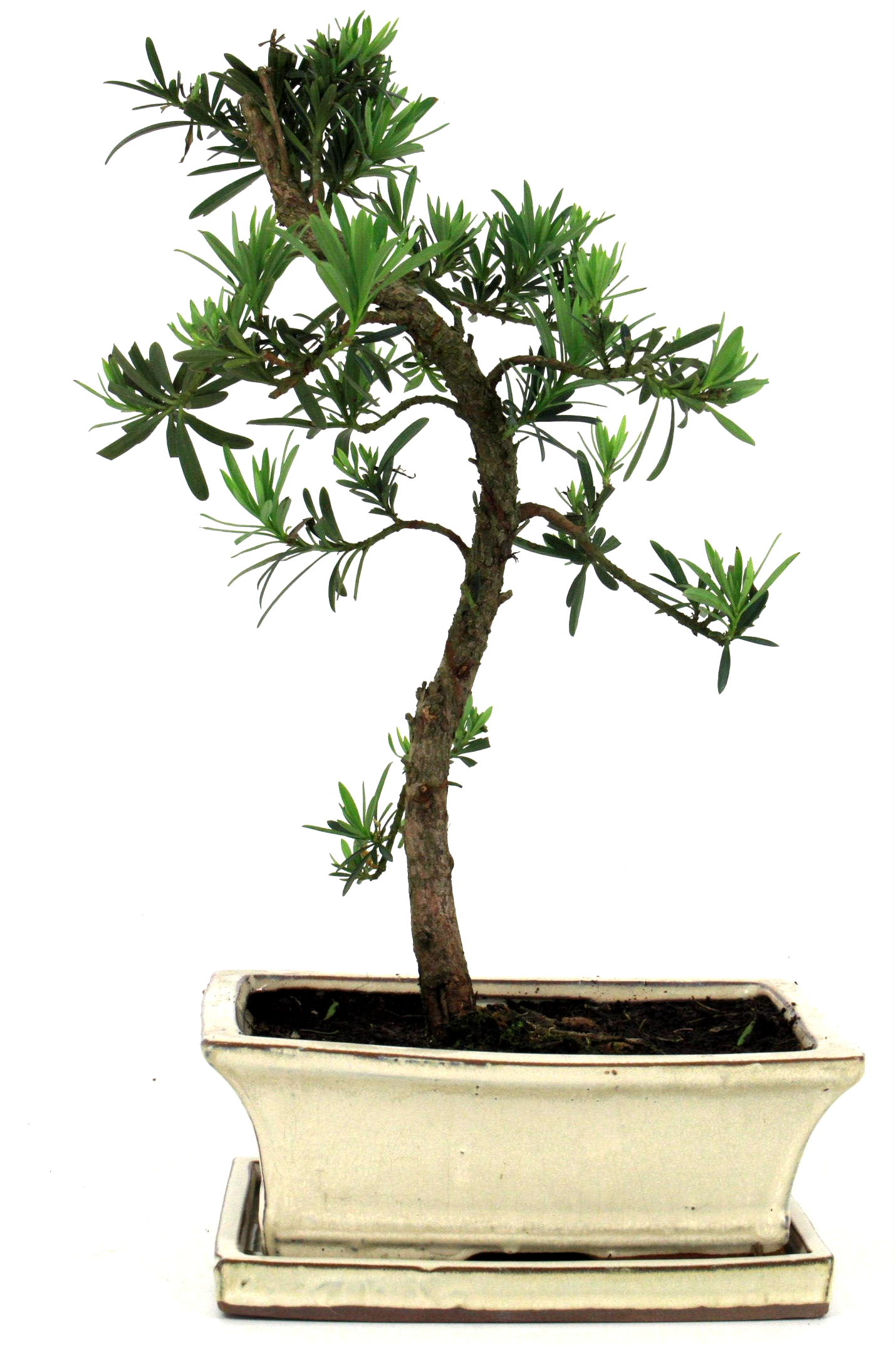 Steineibe bonsai 35 40 cm 1935 bei oyaki bonsai kaufen for Bonsai onlineshop