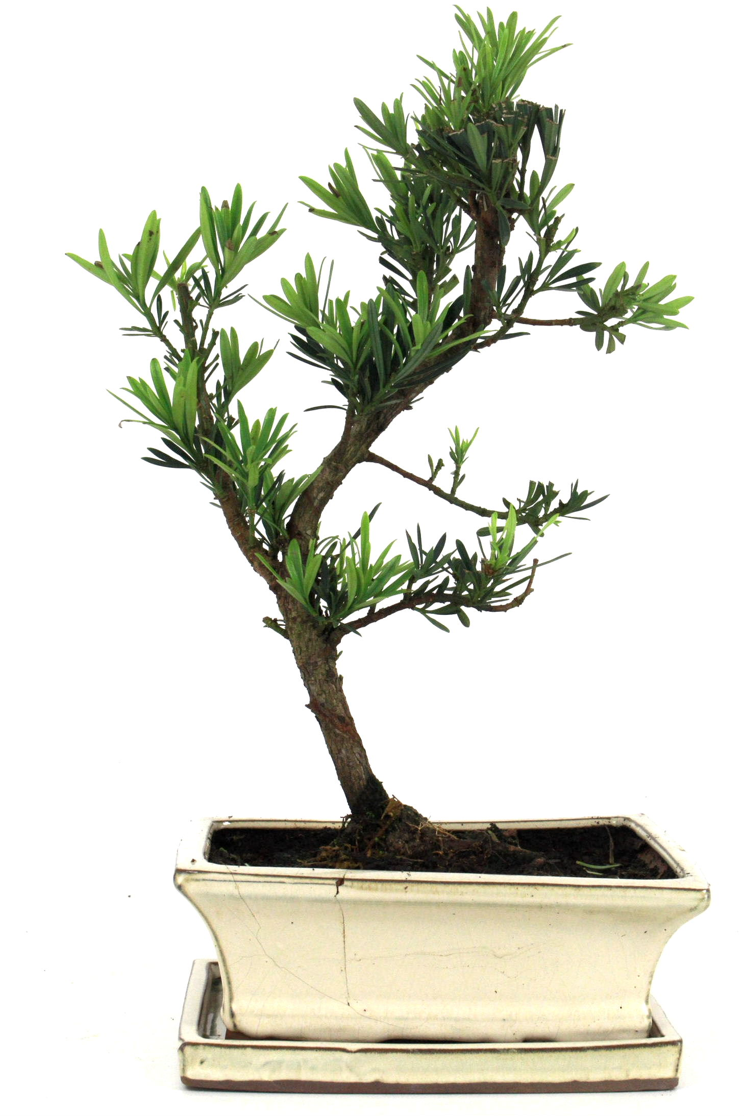 Steineibe bonsai 35 40 cm 1936 bei oyaki bonsai kaufen for Bonsai onlineshop