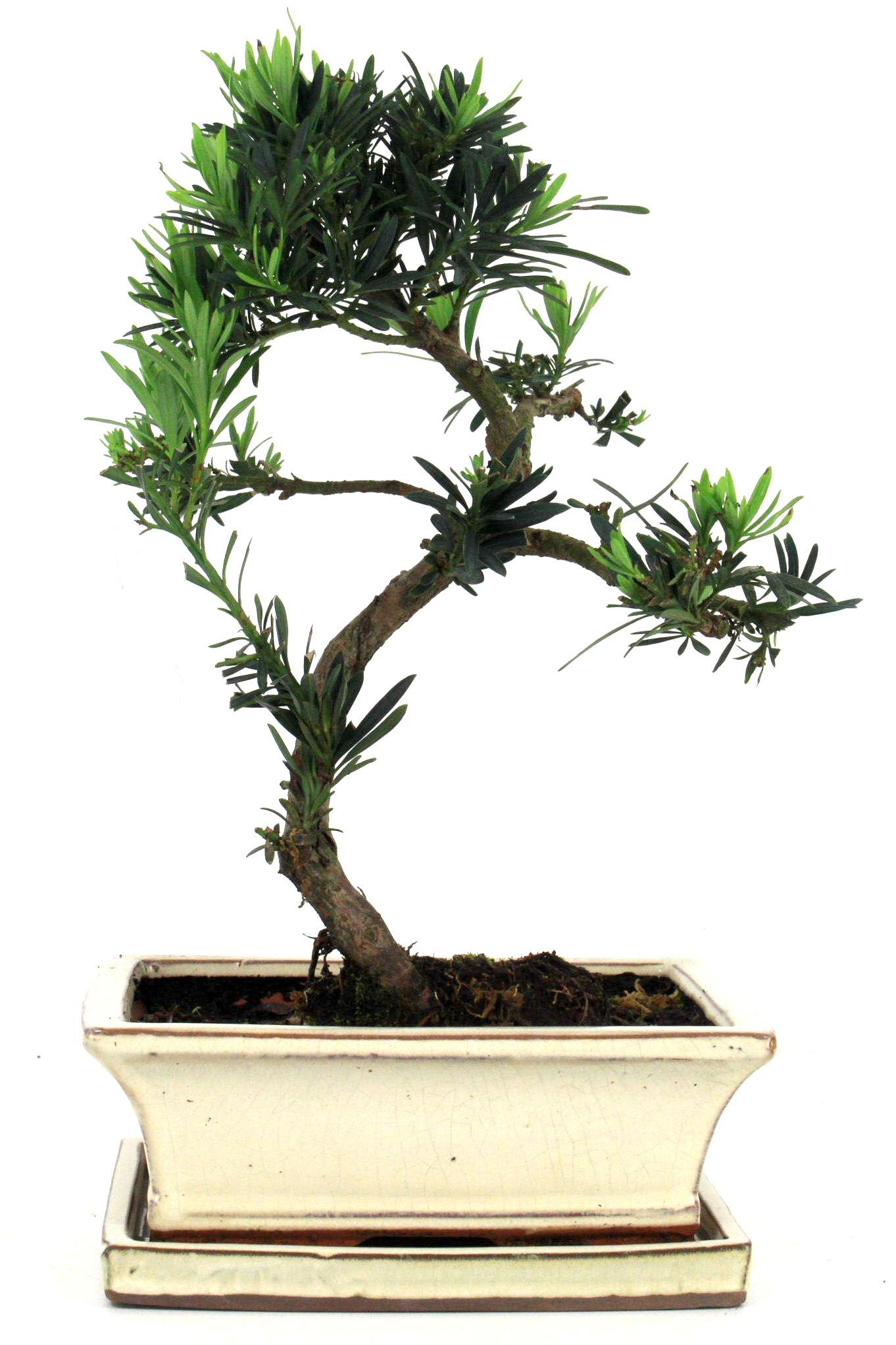 steineibe bonsai 35 40 cm 1938 bei oyaki bonsai kaufen. Black Bedroom Furniture Sets. Home Design Ideas