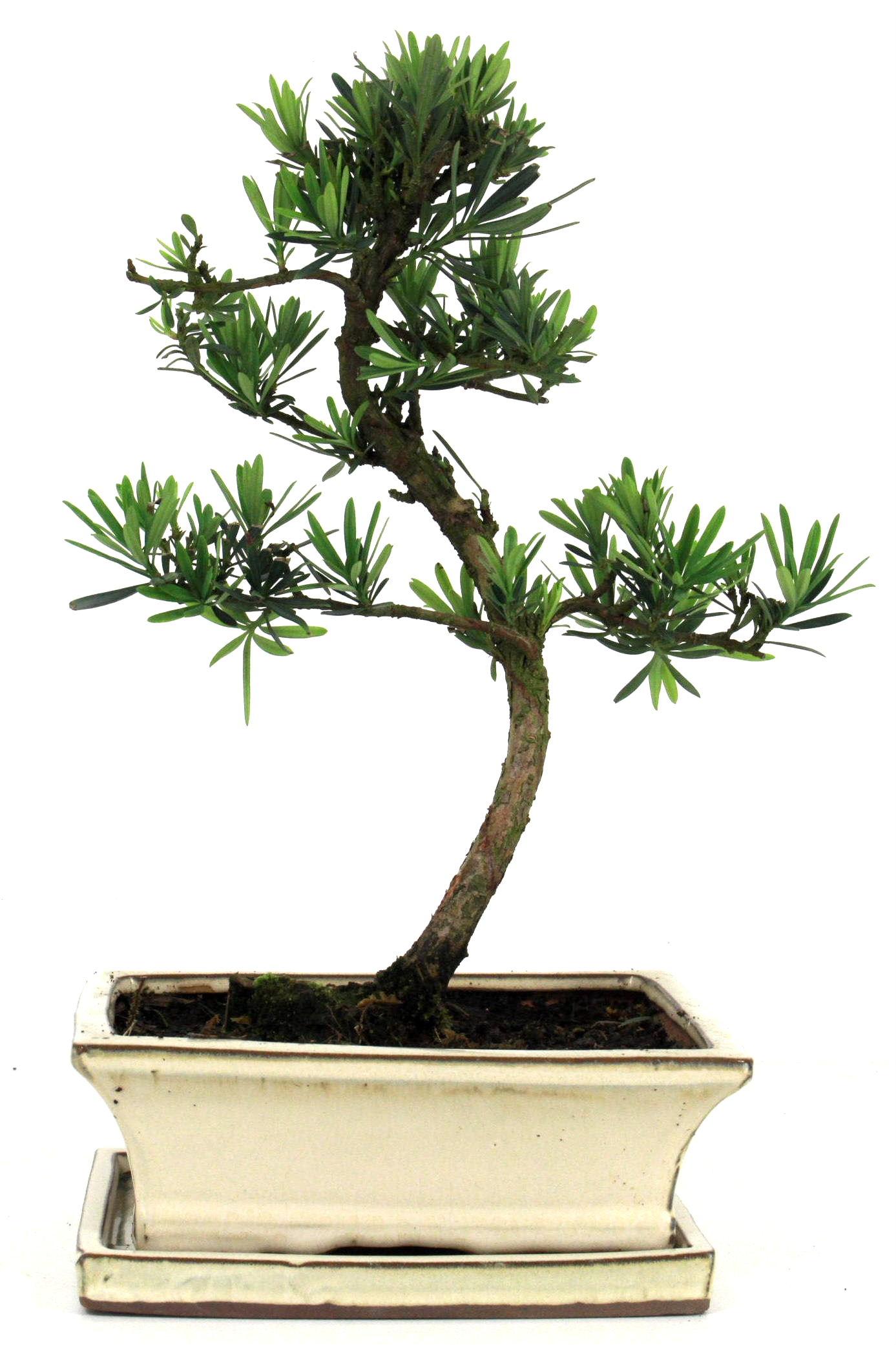 steineibe bonsai 35 40 cm 1939 bei oyaki bonsai kaufen. Black Bedroom Furniture Sets. Home Design Ideas