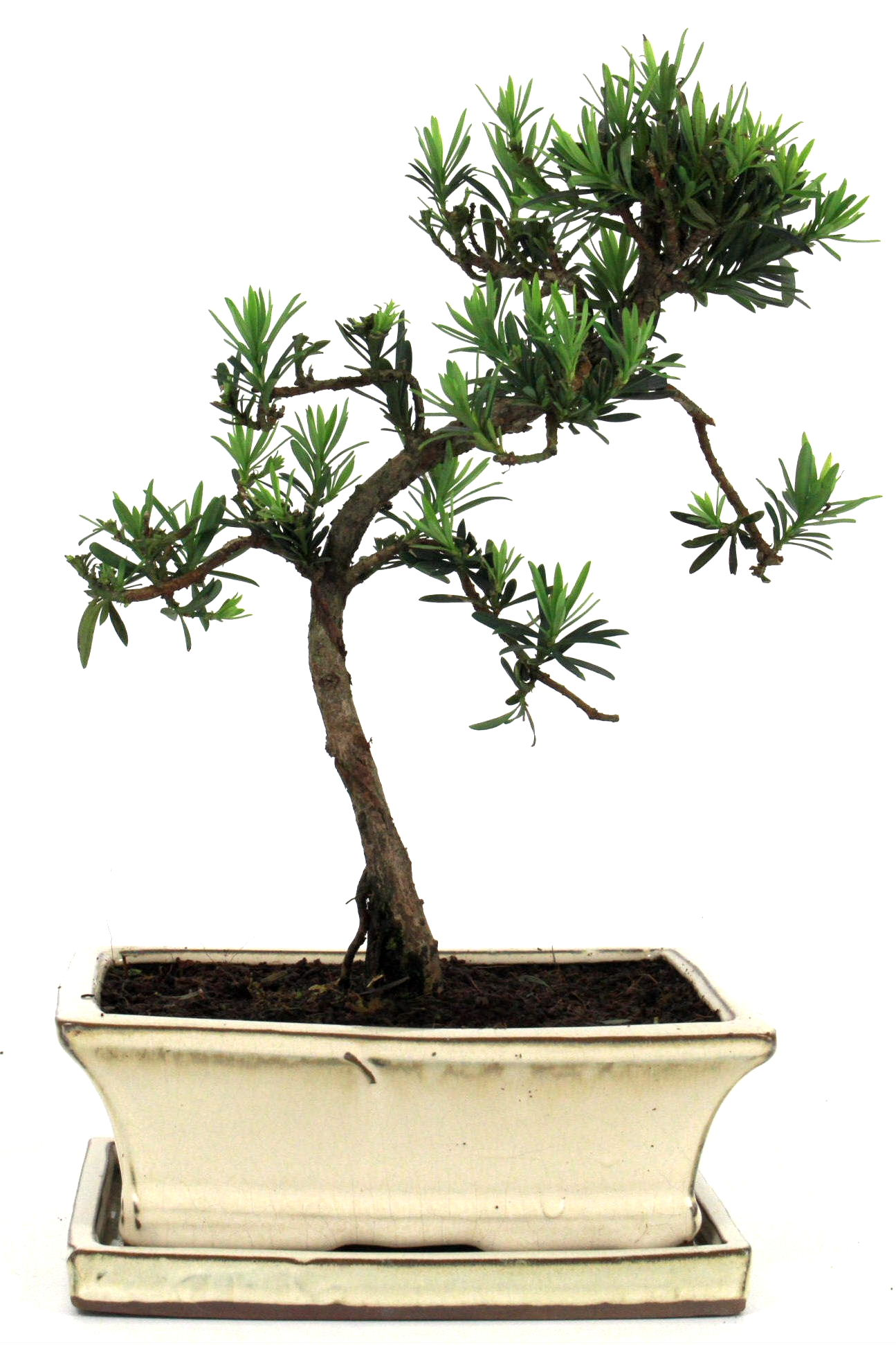steineibe bonsai 35 40 cm 1942 bei oyaki bonsai kaufen. Black Bedroom Furniture Sets. Home Design Ideas