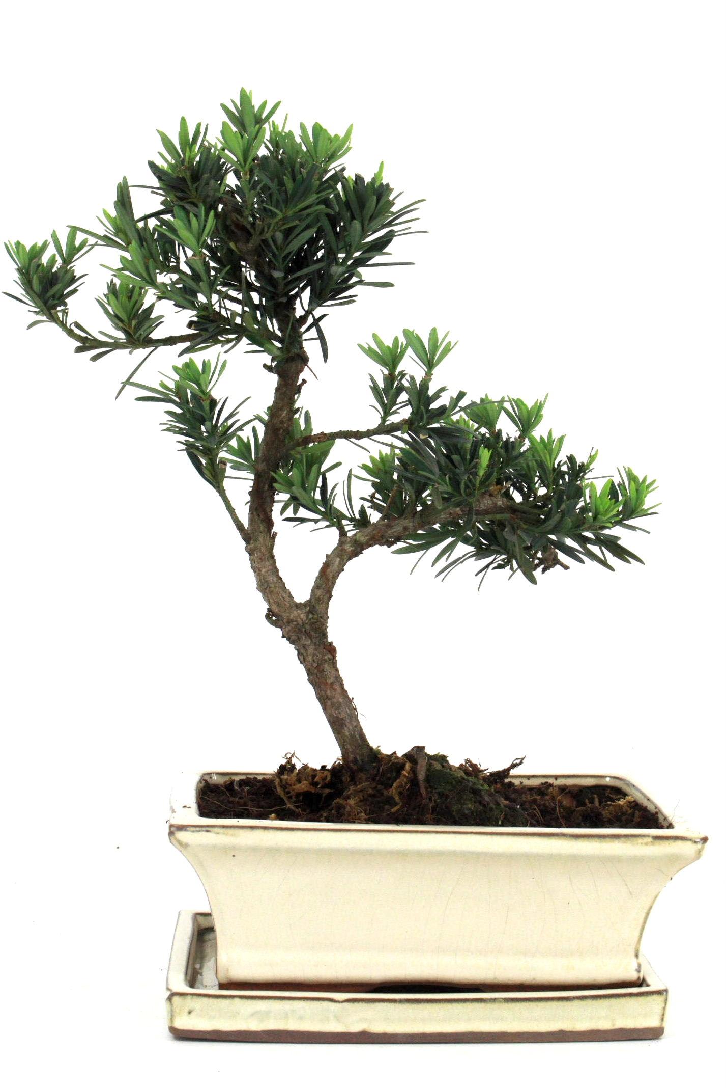 Steineibe bonsai 35 40 cm 1945 bei oyaki bonsai kaufen for Bonsai onlineshop