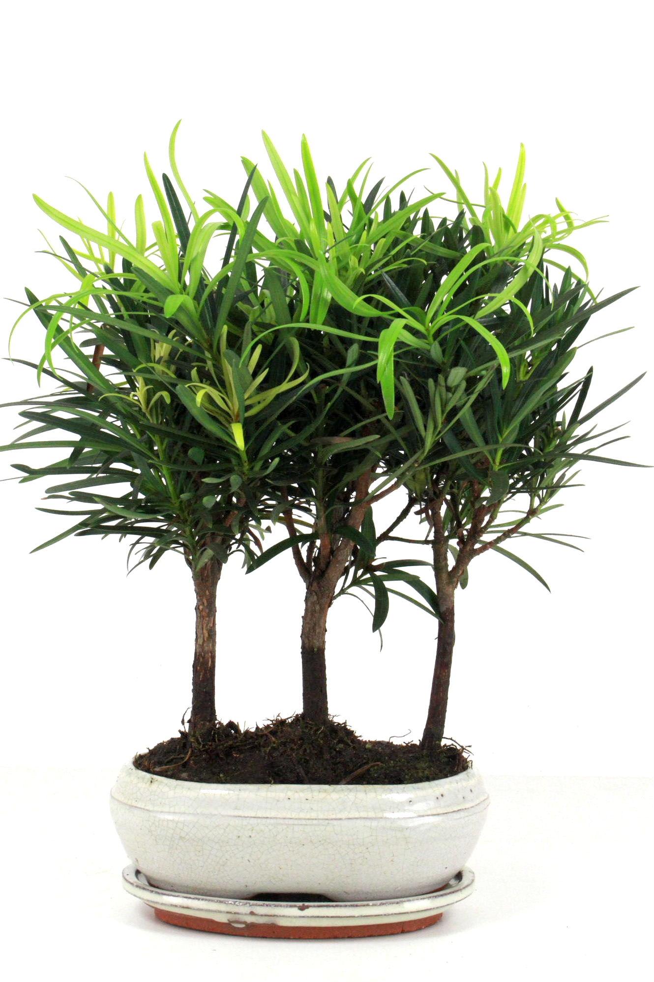 steineibe bonsai gruppenpflanzung 35 40 cm 2121 bei oyaki. Black Bedroom Furniture Sets. Home Design Ideas