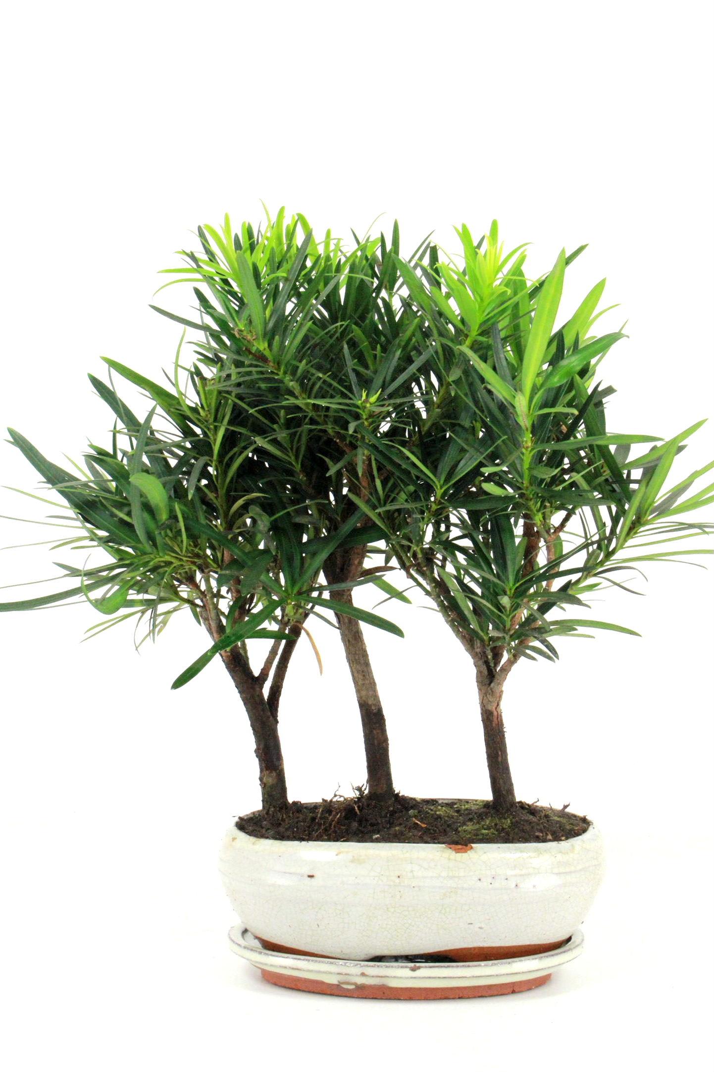 steineibe bonsai gruppenpflanzung 35 40 cm 2123 bei oyaki. Black Bedroom Furniture Sets. Home Design Ideas