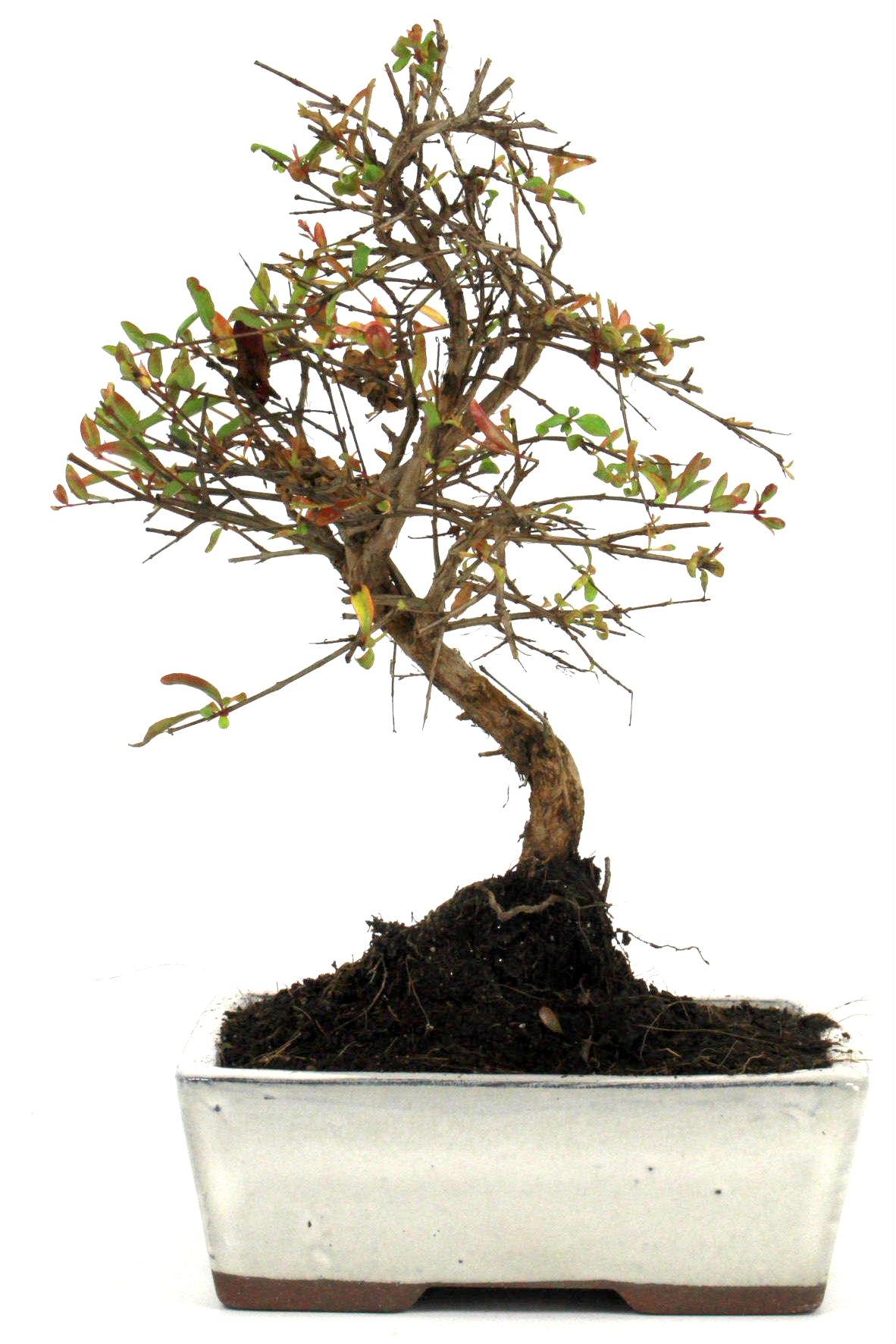 granatapfel bonsai 25 30 cm 161 bei oyaki bonsai kaufen. Black Bedroom Furniture Sets. Home Design Ideas