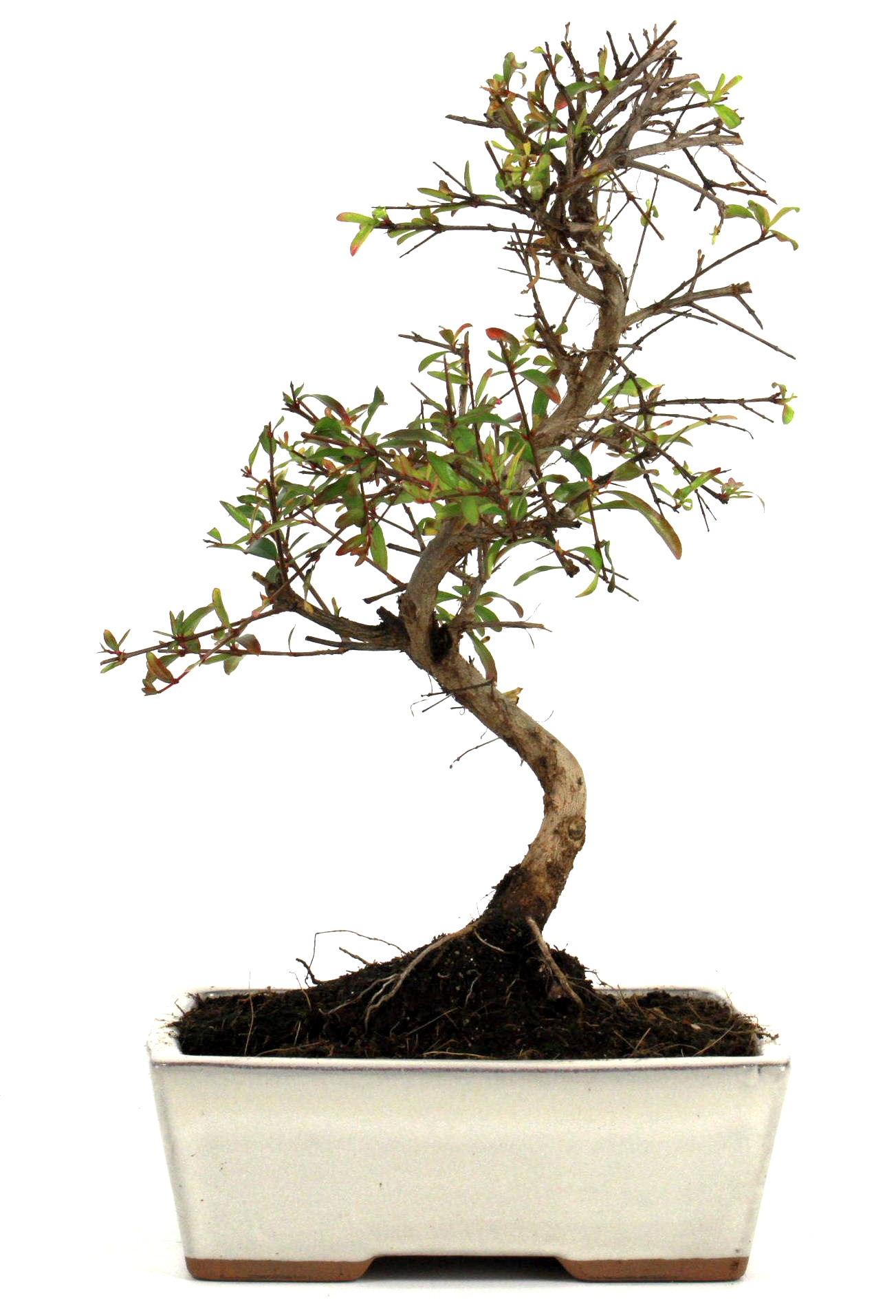 granatapfel bonsai 25 30 cm 163 bei oyaki bonsai kaufen. Black Bedroom Furniture Sets. Home Design Ideas