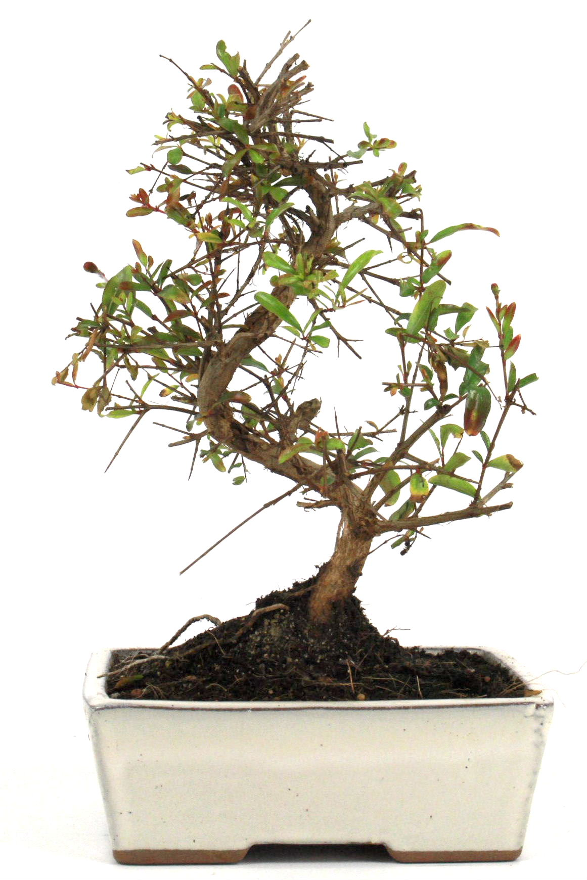 Granatapfel bonsai 25 30 cm 165 bei oyaki bonsai kaufen for Bonsai onlineshop
