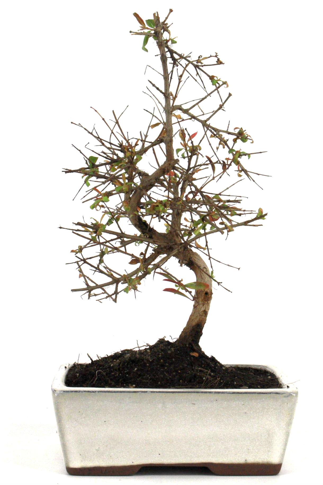granatapfel bonsai 25 30 cm 168 bei oyaki bonsai kaufen. Black Bedroom Furniture Sets. Home Design Ideas