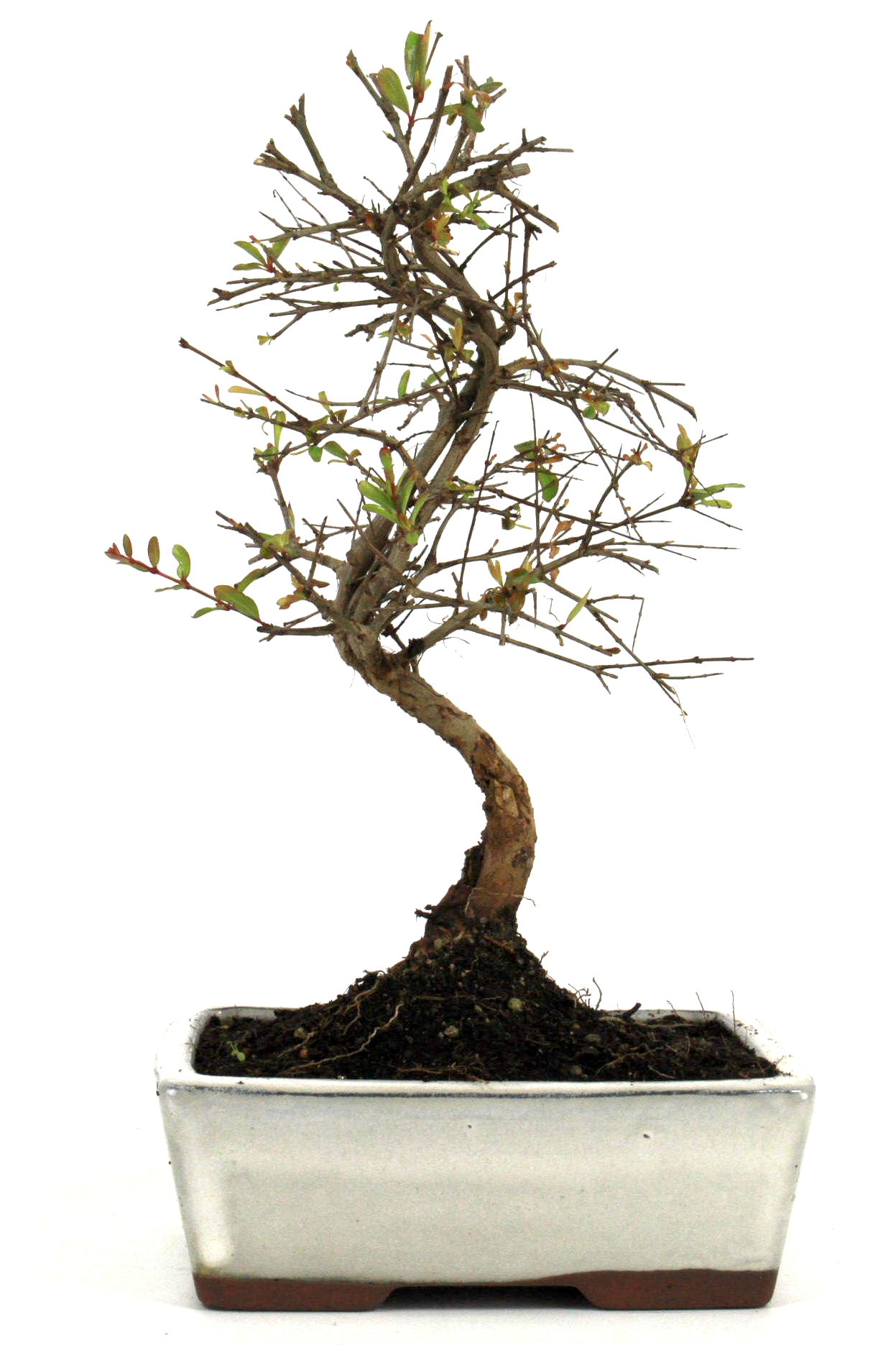 Granatapfel bonsai 25 30 cm 169 bei oyaki bonsai kaufen for Bonsai onlineshop