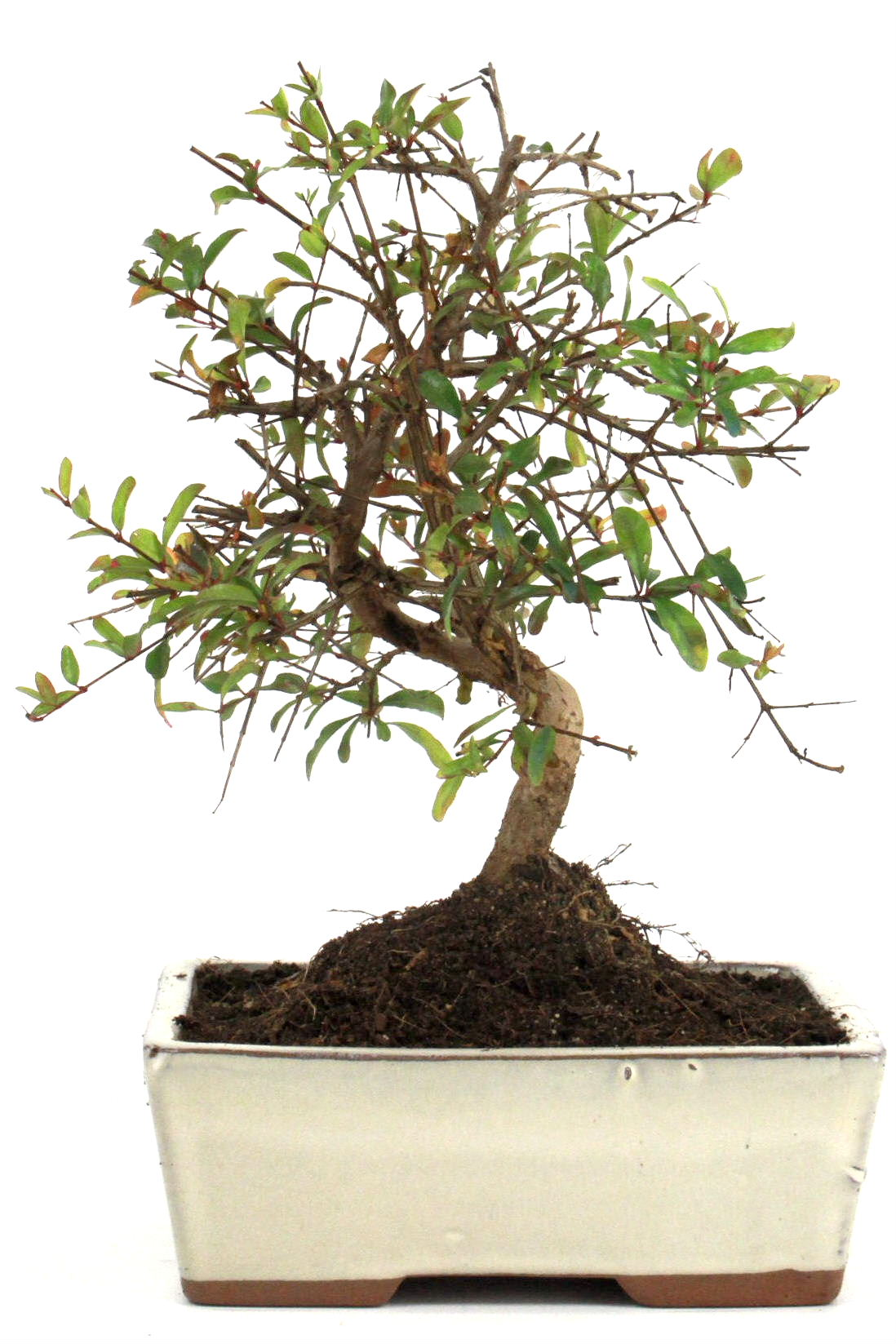 Granatapfel bonsai 25 30 cm 1610 bei oyaki bonsai kaufen for Bonsai onlineshop