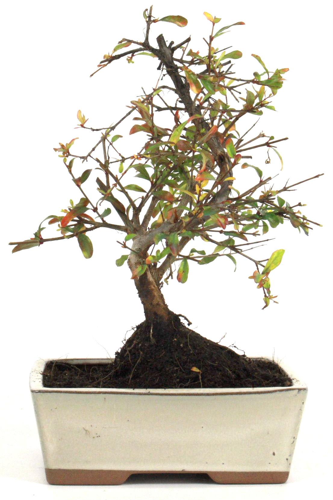 granatapfel bonsai 25 30 cm 1611 bei oyaki bonsai kaufen. Black Bedroom Furniture Sets. Home Design Ideas
