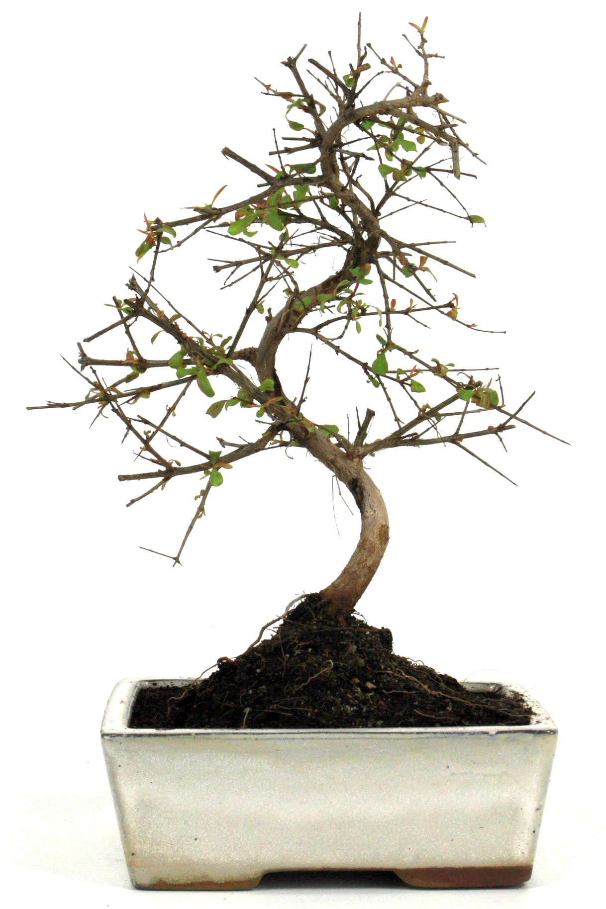 granatapfel bonsai 25 30 cm 1613 bei oyaki bonsai kaufen. Black Bedroom Furniture Sets. Home Design Ideas