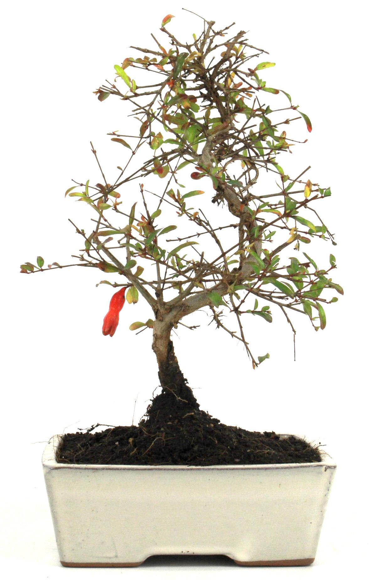 granatapfel bonsai 25 30 cm 1614 bei oyaki bonsai kaufen. Black Bedroom Furniture Sets. Home Design Ideas