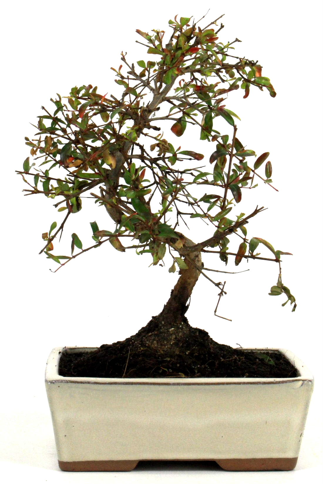 Granatapfel bonsai 25 30 cm 1615 bei oyaki bonsai kaufen for Bonsai onlineshop
