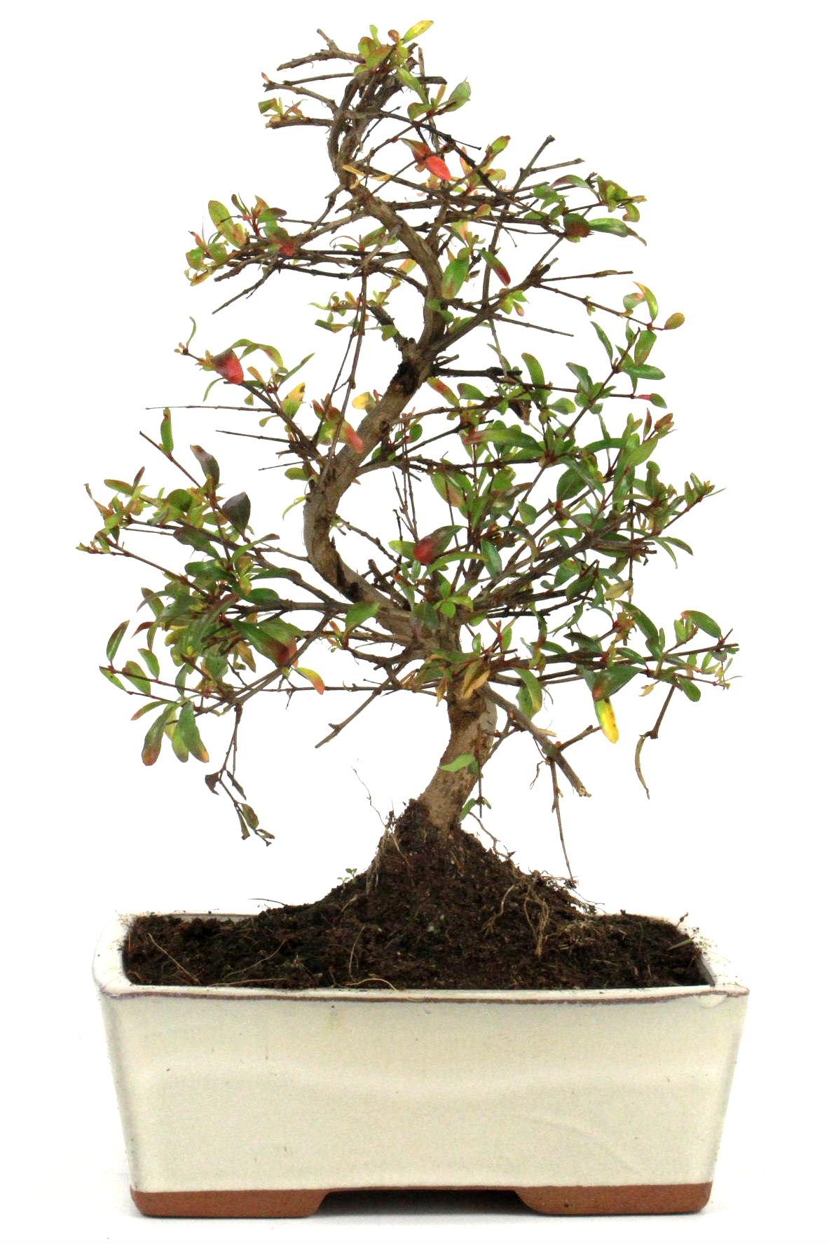 granatapfel bonsai 25 30 cm 1617 bei oyaki bonsai kaufen. Black Bedroom Furniture Sets. Home Design Ideas